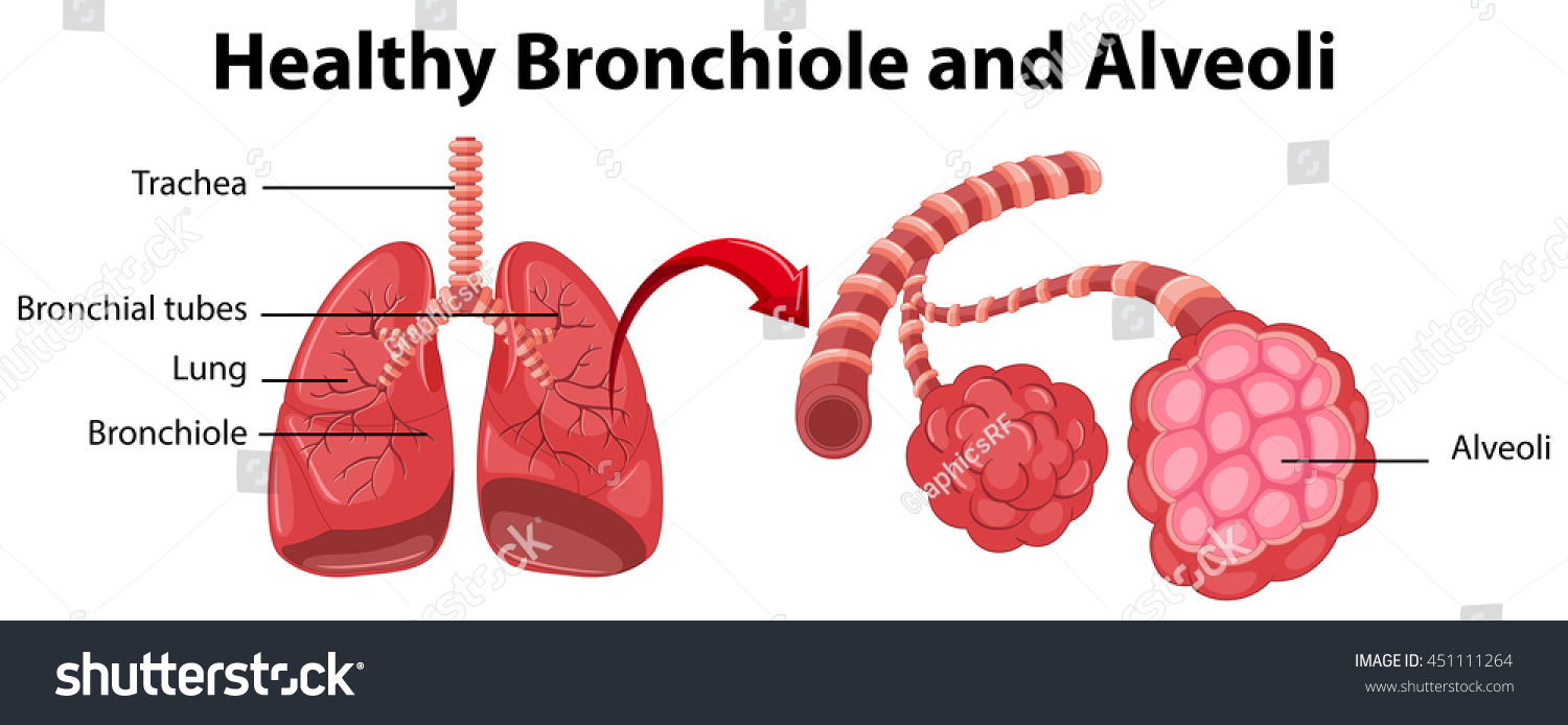 diagram showing healthy bronchiole alveoli illustration stock vector