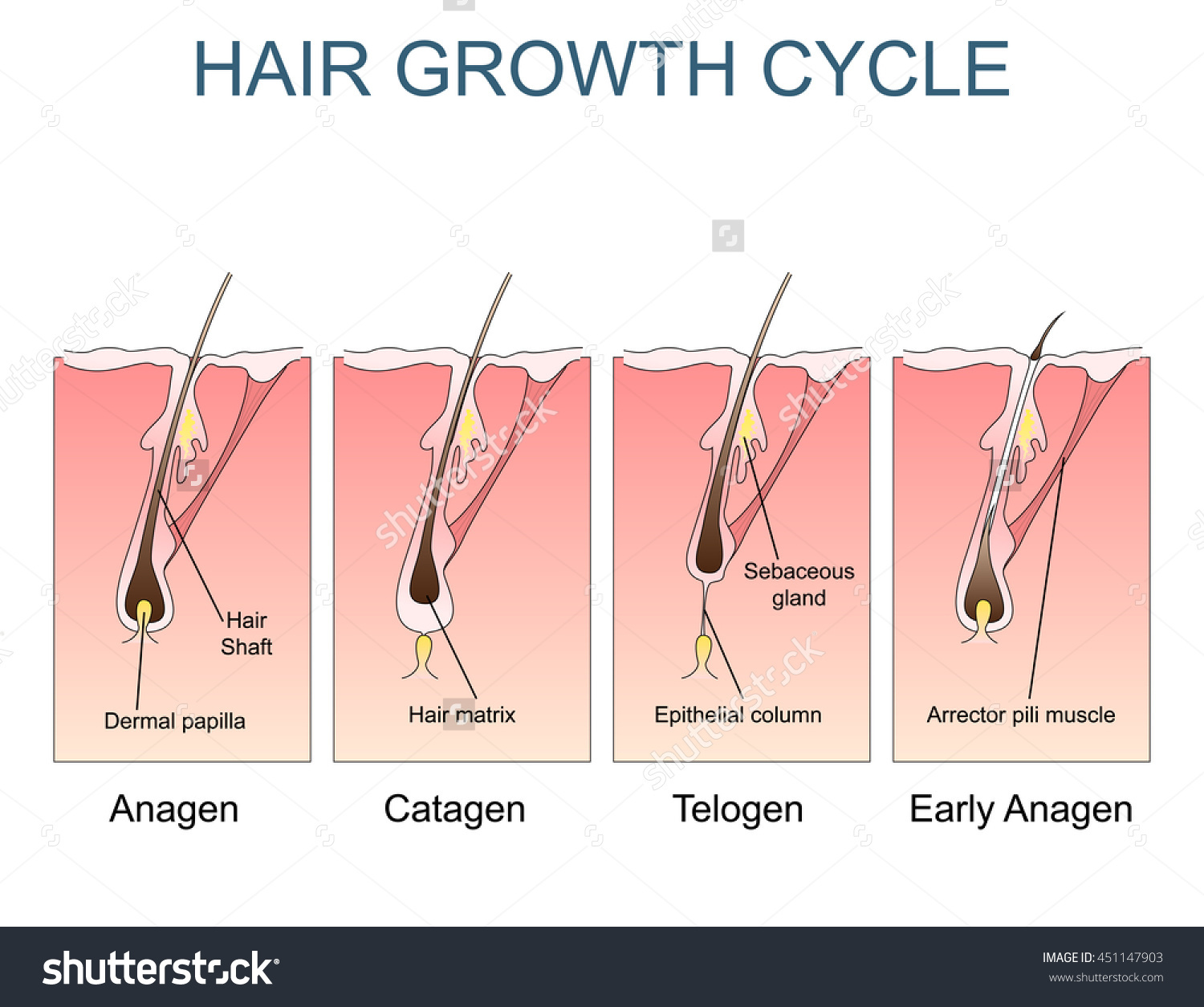 Correct order of hair growth cycle