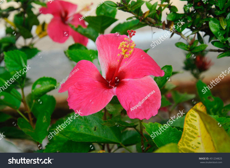 Malacca Malaysia July 07 2016 Hibiscus Stock Photo Edit Now