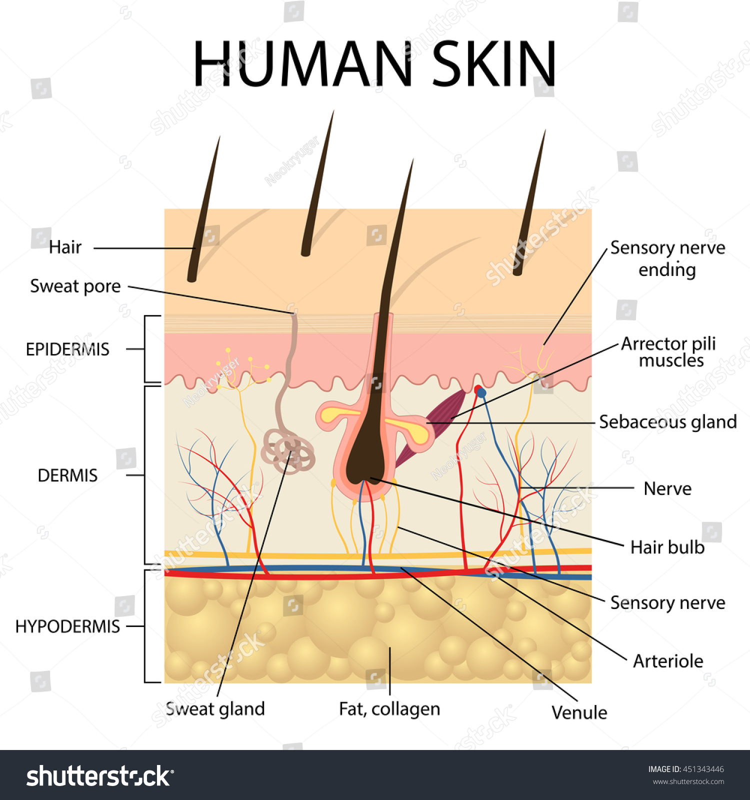 Illustration Human Skin Hair Anatomy Stock Vector 451343446
