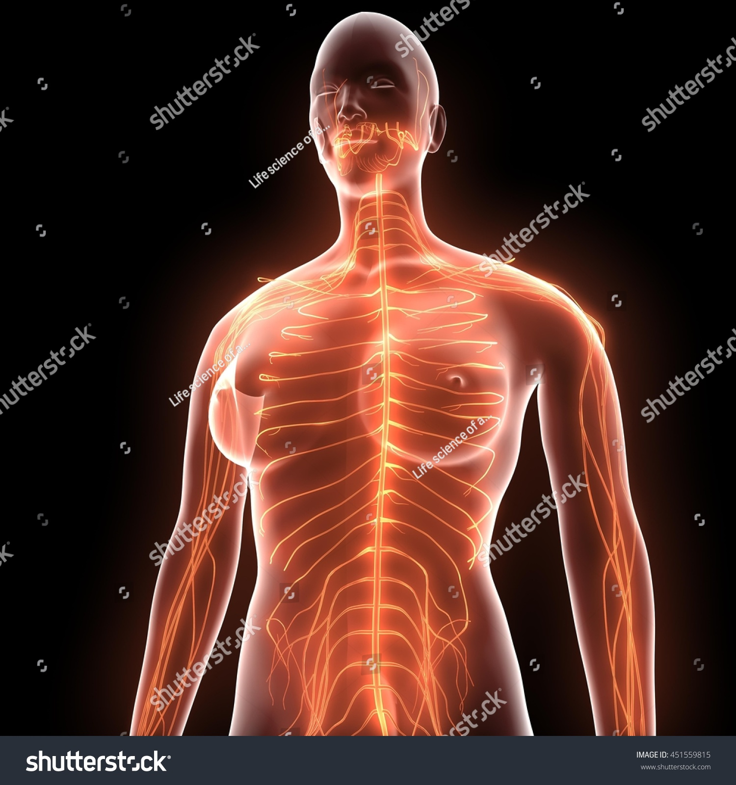 Human Body Nerves Veins Arteries Anatomy Stock Illustration
