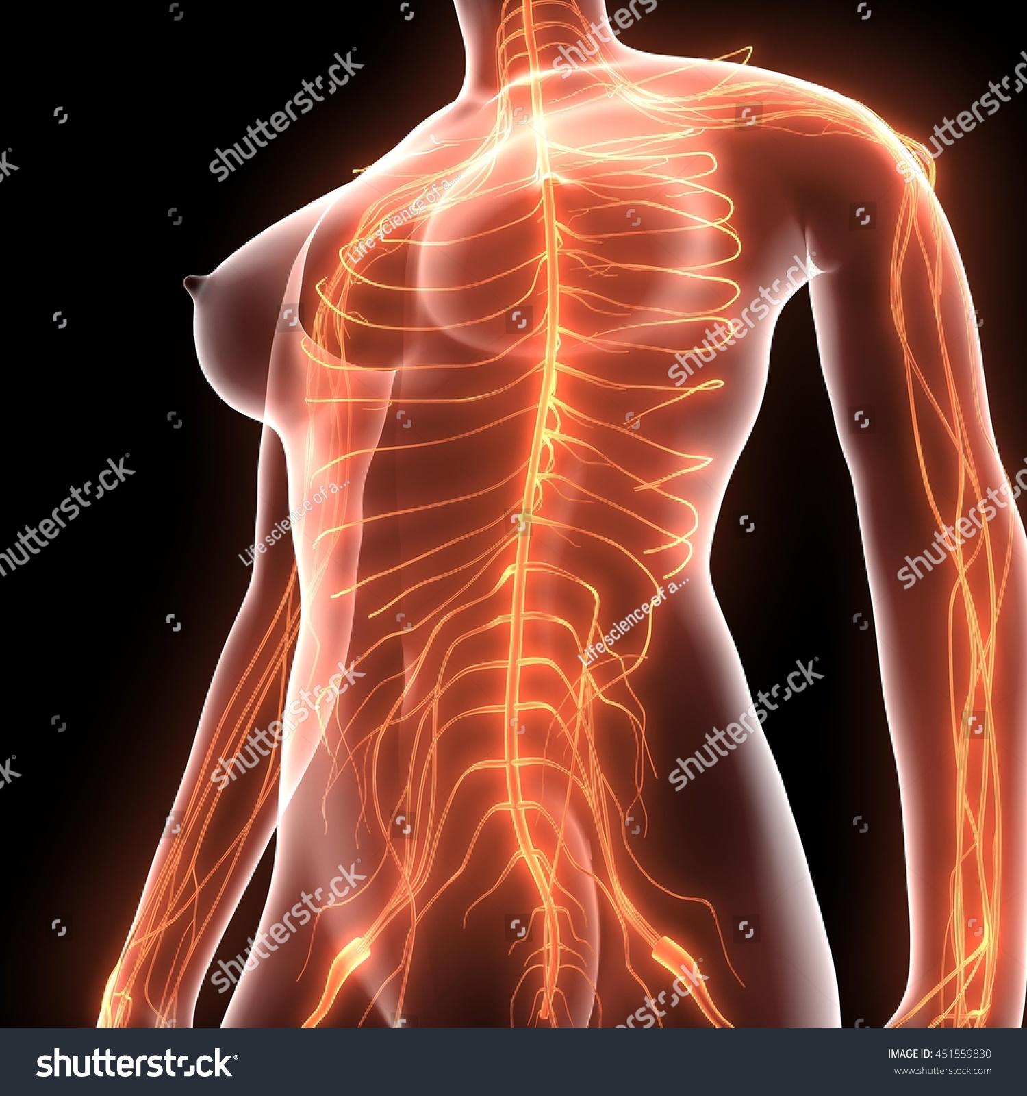 Human Body Nerves Veins Arteries Anatomy Stock Illustration ...