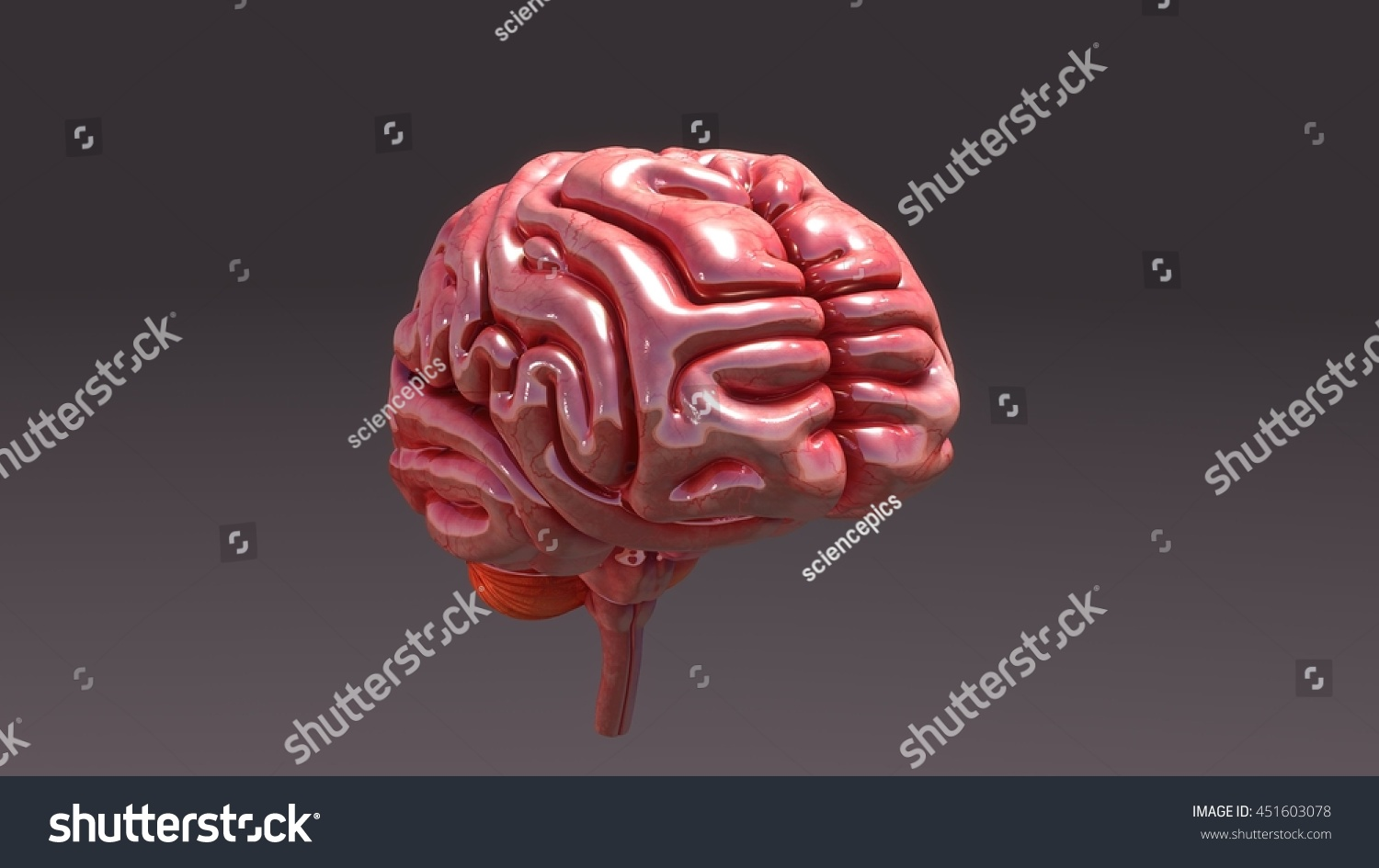 Human Brain Anatomy 3 D Illustration Stock Illustration 451603078 ...