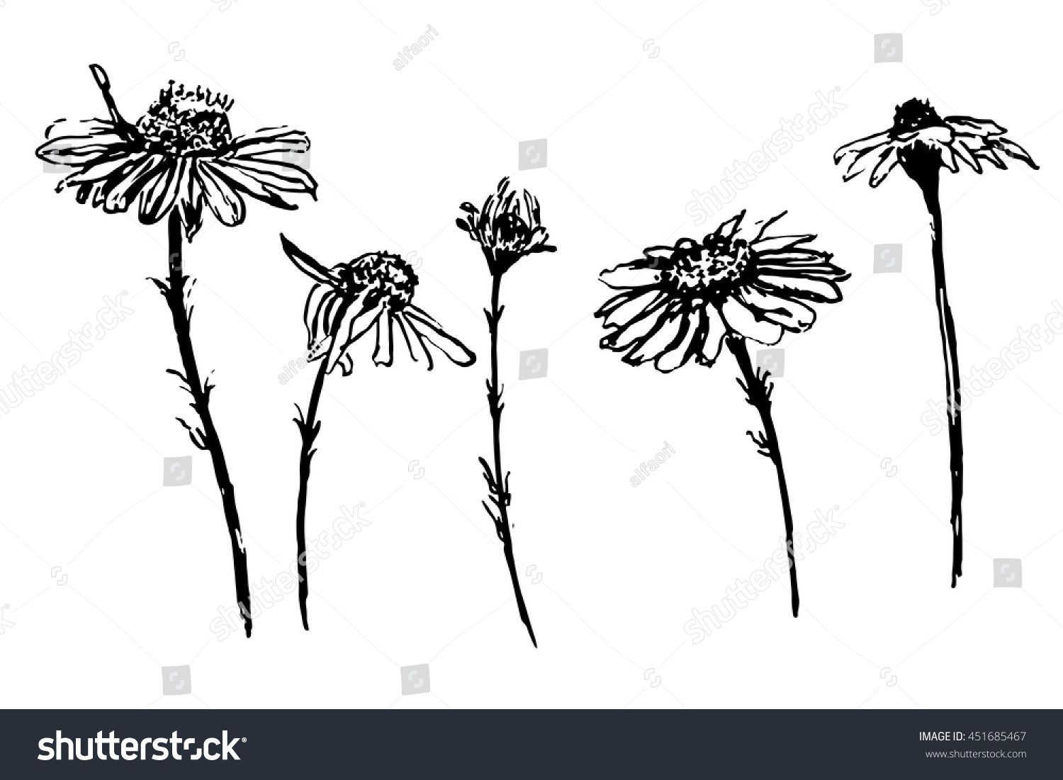 Drawing Collection Daisy Flowers Set Sketch Stock Vector Royalty