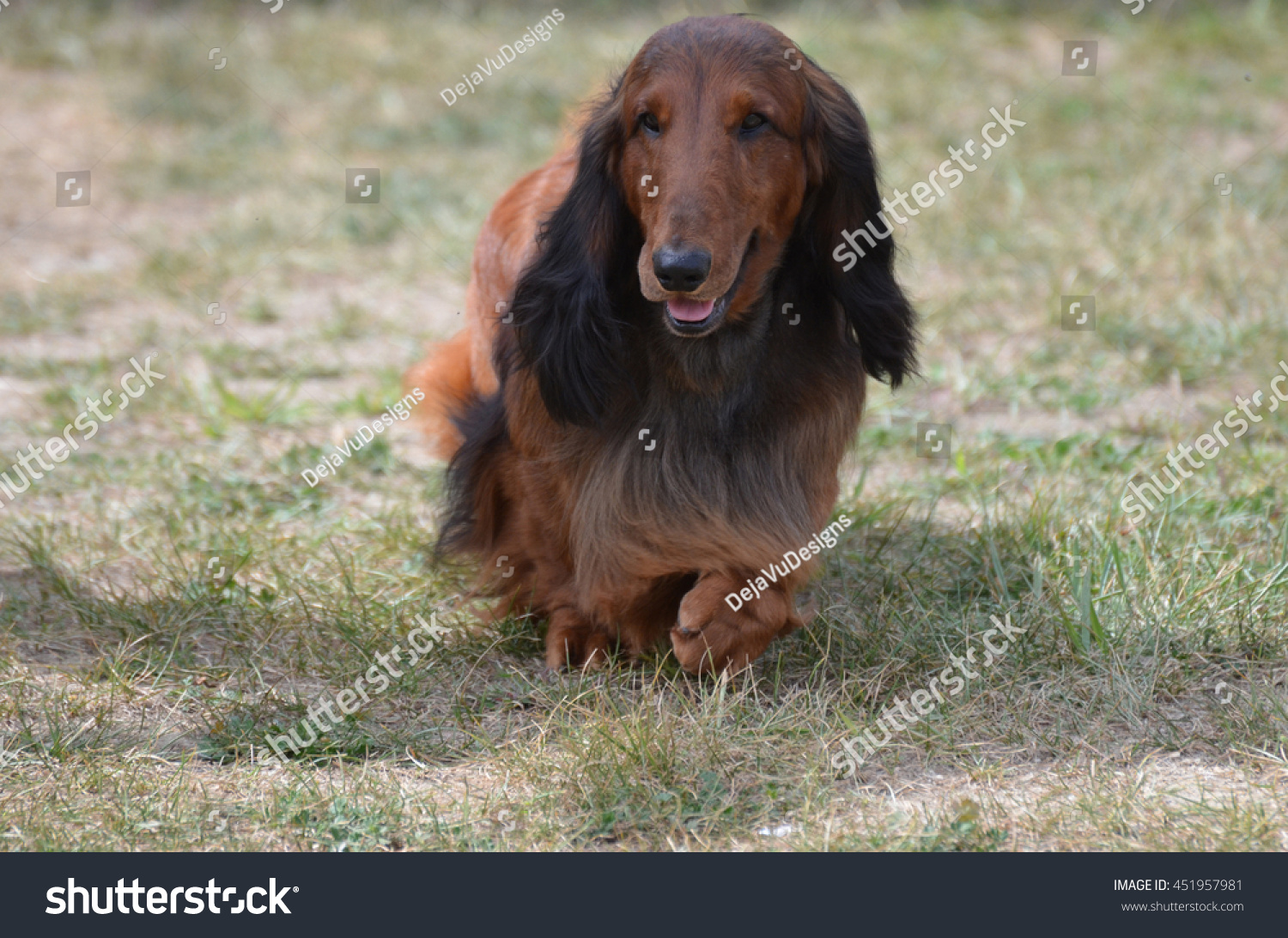 Cute Long Haired Dachshund Dog Field Stock Photo (Edit Now) 12