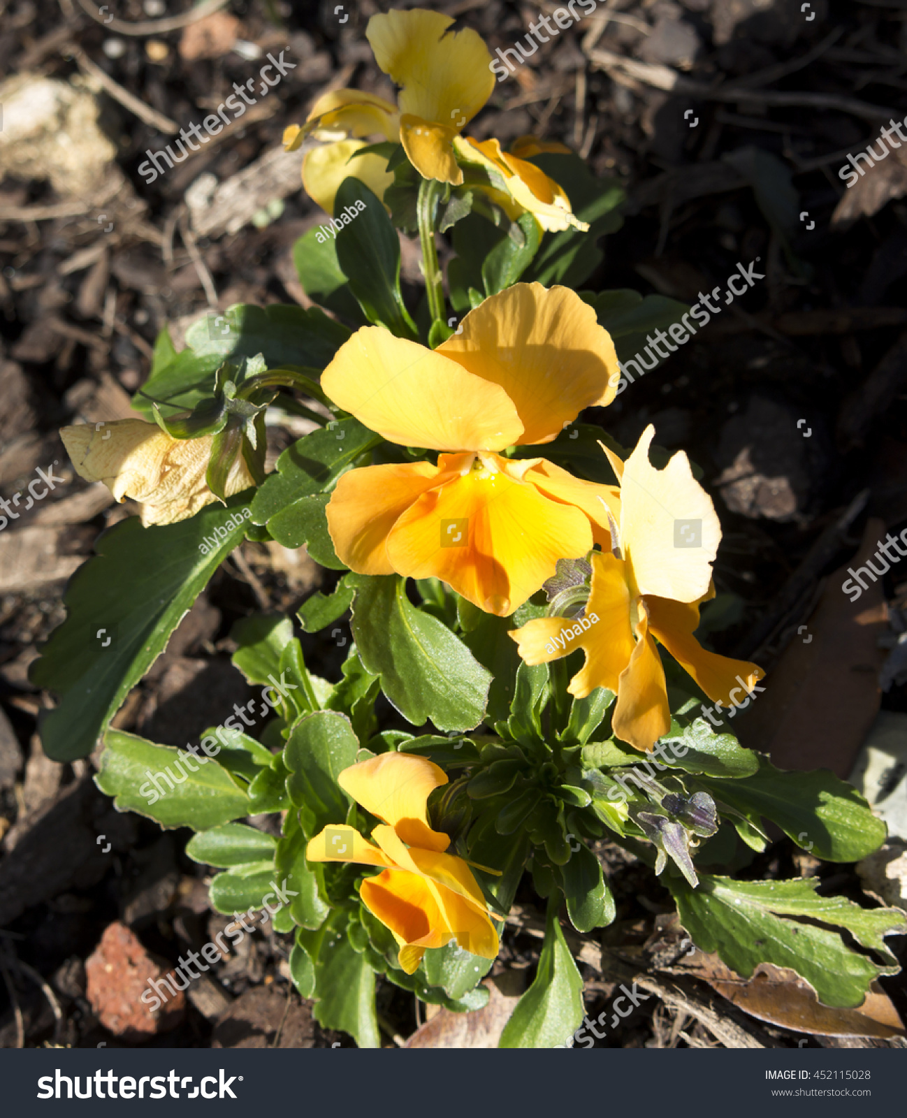 Pretty Bright Yellow Flowers Pansy Derived Stock Photo Royalty Free