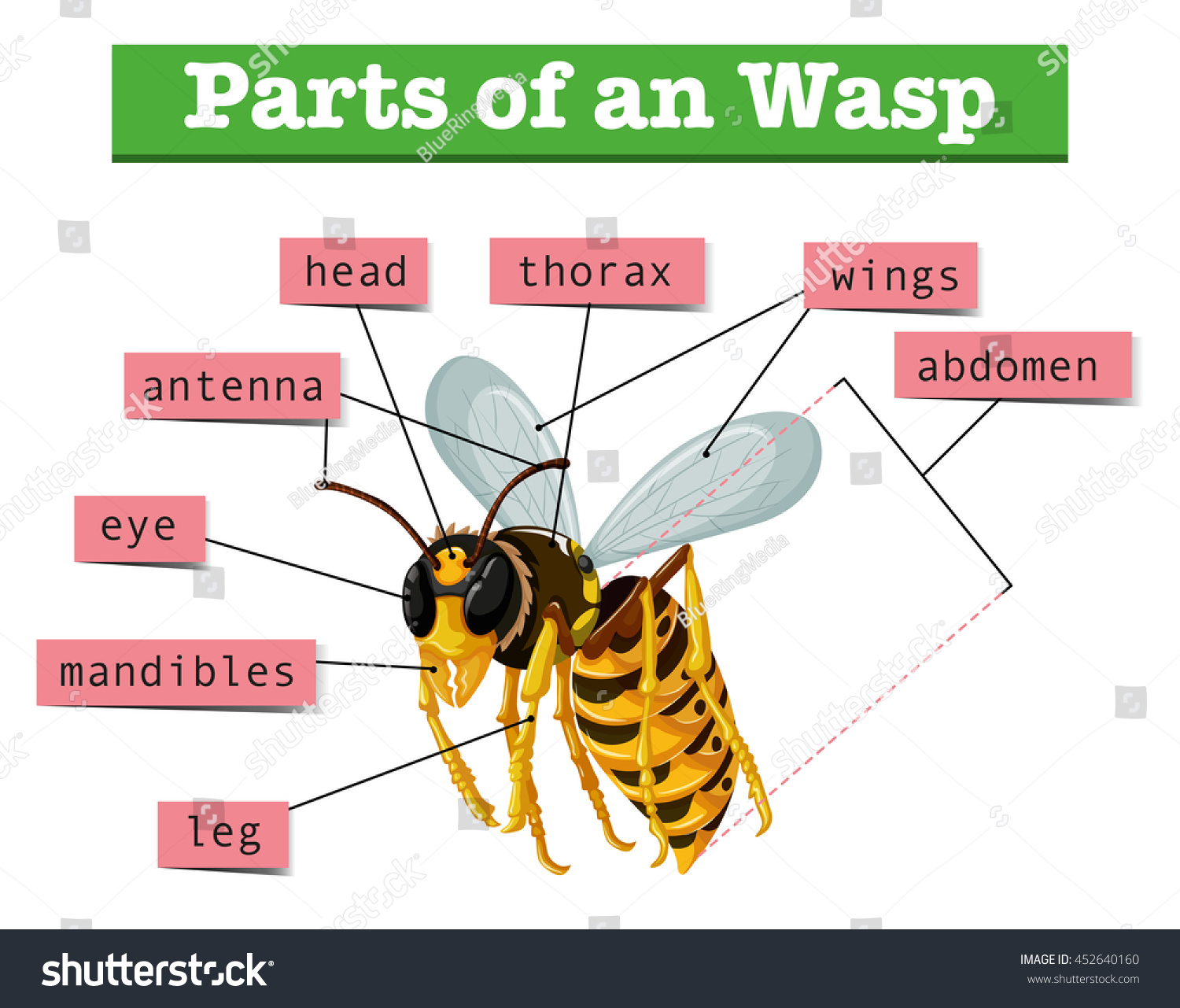 Anatomy Wasp Words Illustration Stock Vector Hd Royalty Free