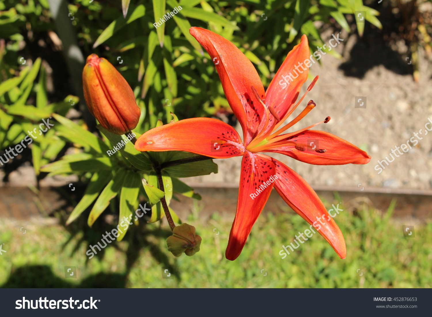 Spotted red tiger lily flowers or stock photo edit now 452876653 spotted red tiger lily flowers or devil lily in st gallen izmirmasajfo
