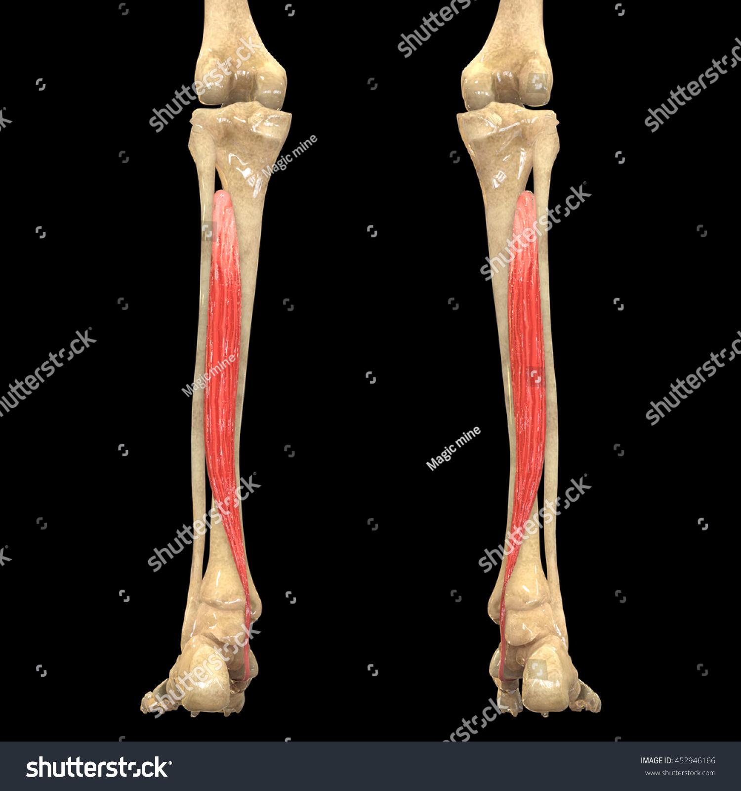 Human Body Muscles Anatomy Tibialis Posterior Stock Illustration ...