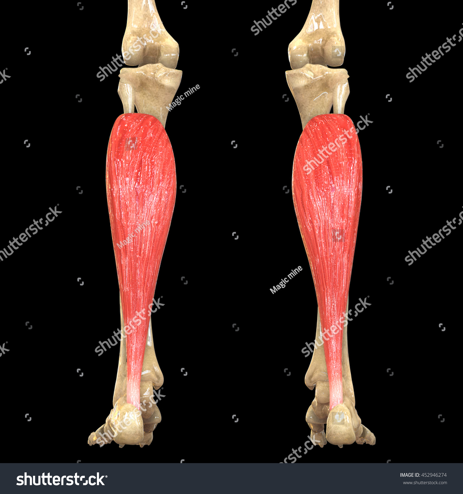 Human Body Muscles Anatomy Soleus 3 D Stock Illustration 452946274 ...