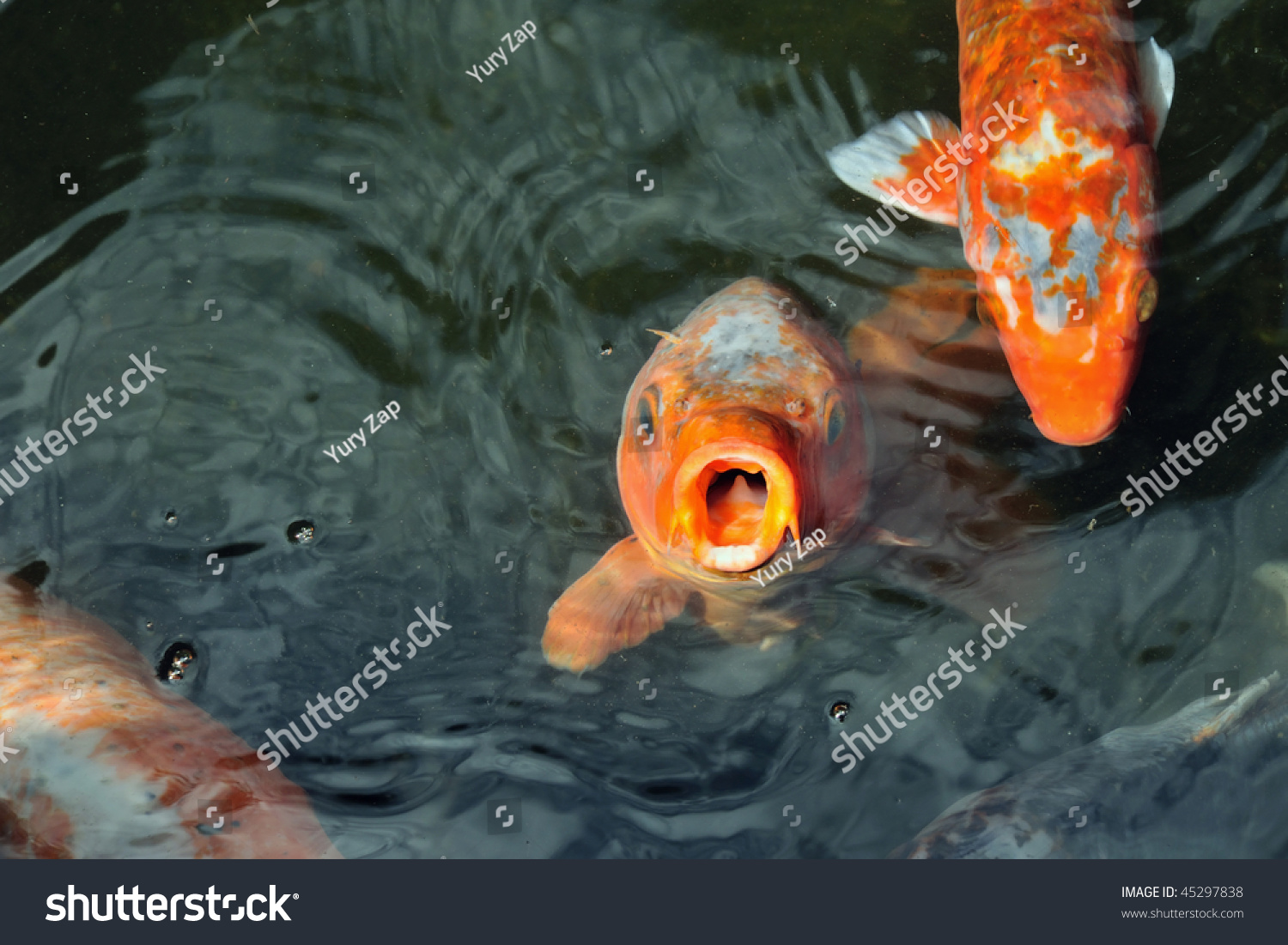 Hungry red carp koi fishes in japanese pond stock photo for Red koi carp