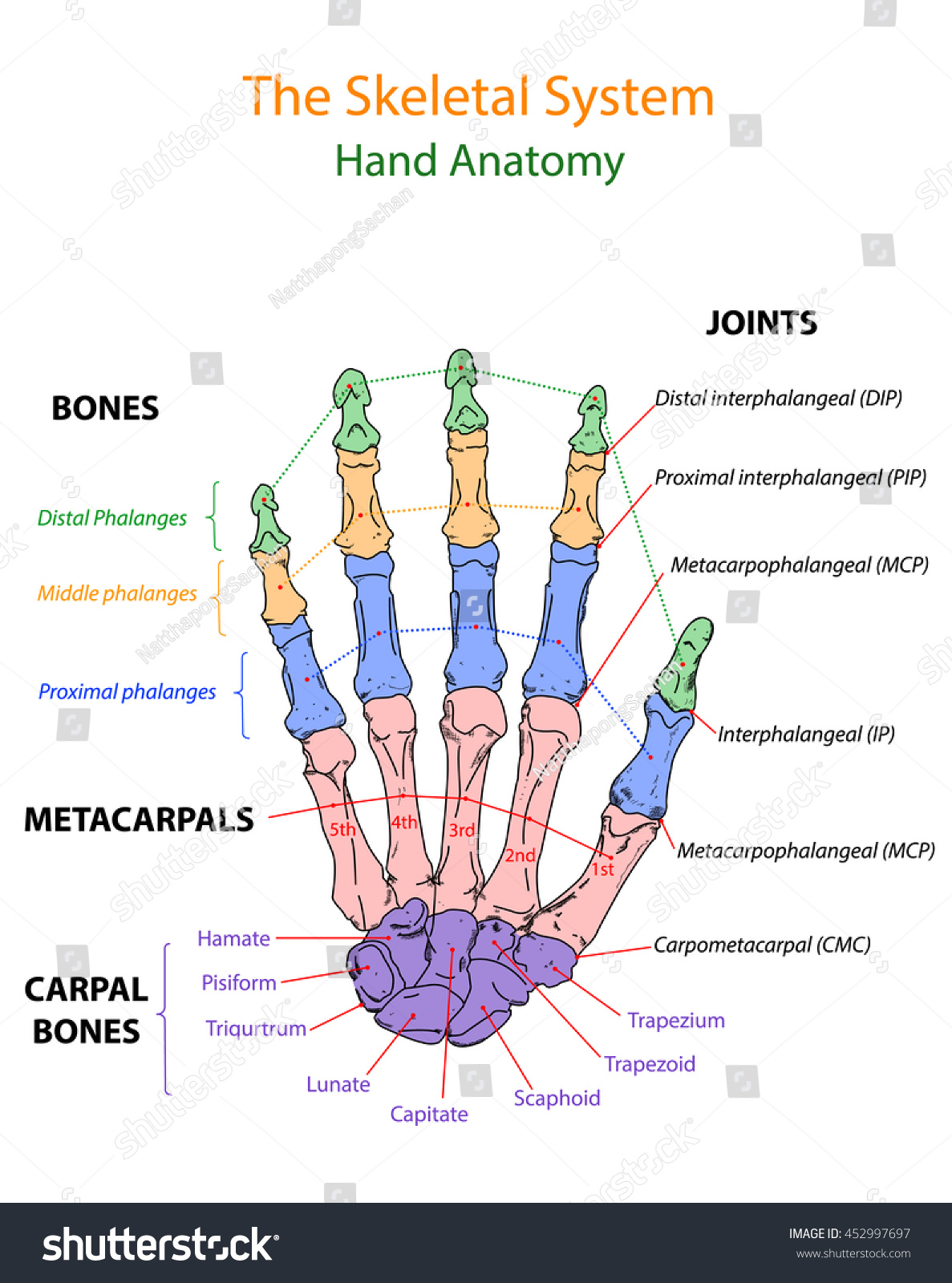 Image Show Overview Human Hand Anatomy Stock Vector Royalty Free