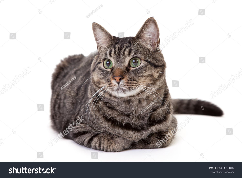 Grey Striped Domestic Shorthair Tabby Cat Stock Photo Edit Now 453018016