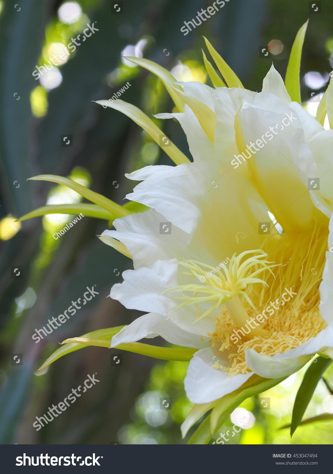 Large Exotic Beautiful Whiteyellow Flowers White Stock Photo Edit
