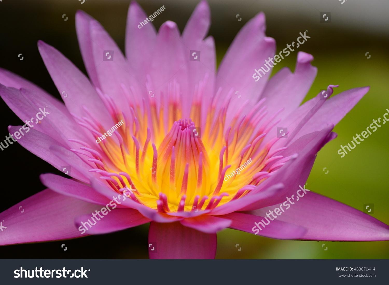 The blooming lotus flowers in closeup under the hot sun lights ez id 453070414 izmirmasajfo