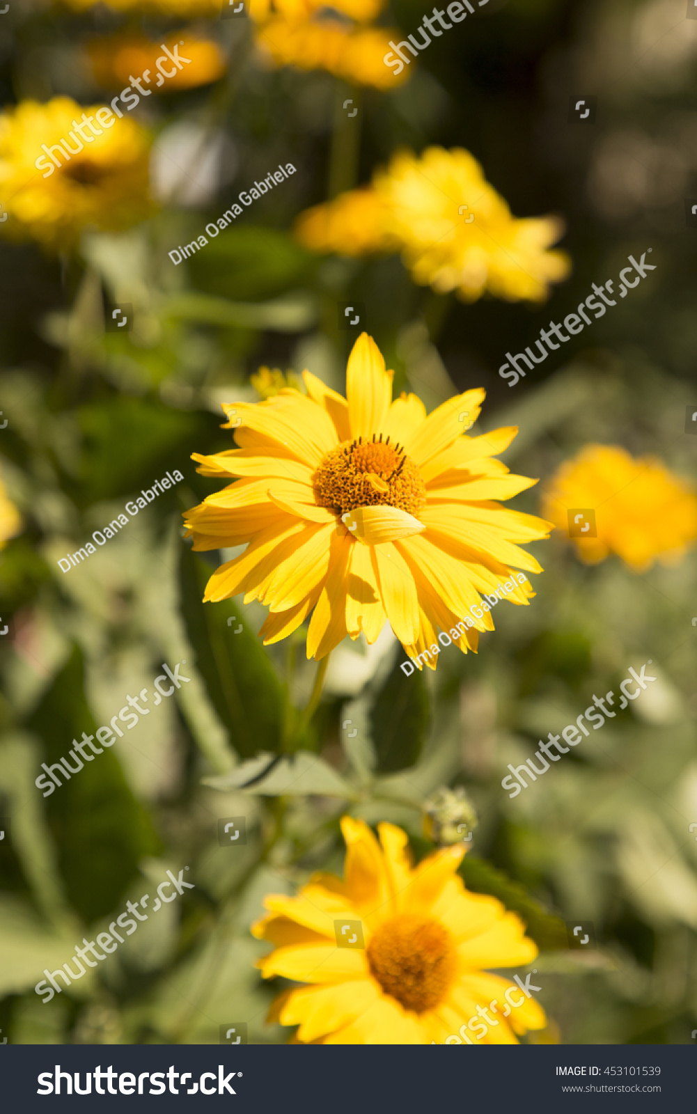 Yellow Flowers Garden Green Background Nature Stock Photo Safe To