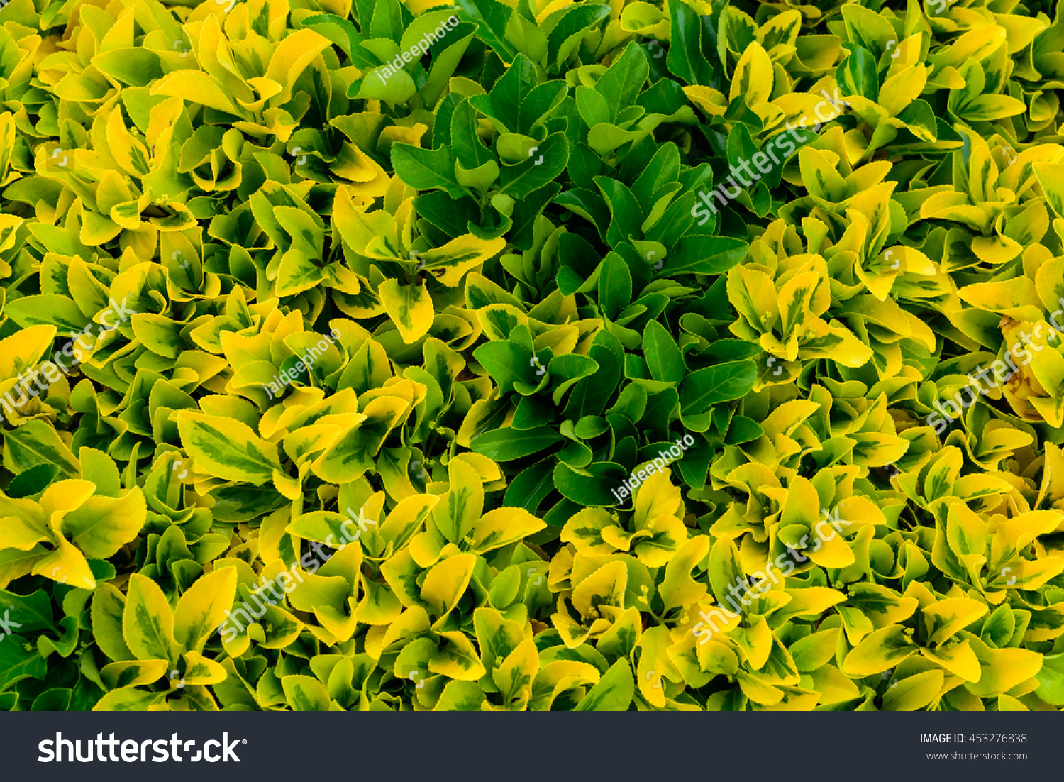 Bush Of Yellow And Green Leaves Macro Ez Canvas