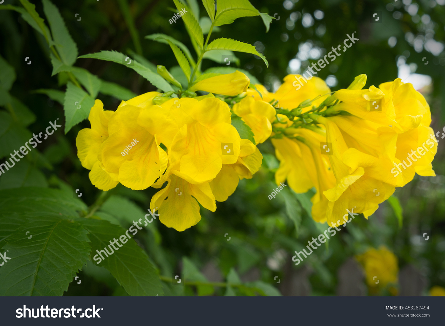 Yellow Trumpetbush Yellow Elder Trumpetflower Yellow Trumpet
