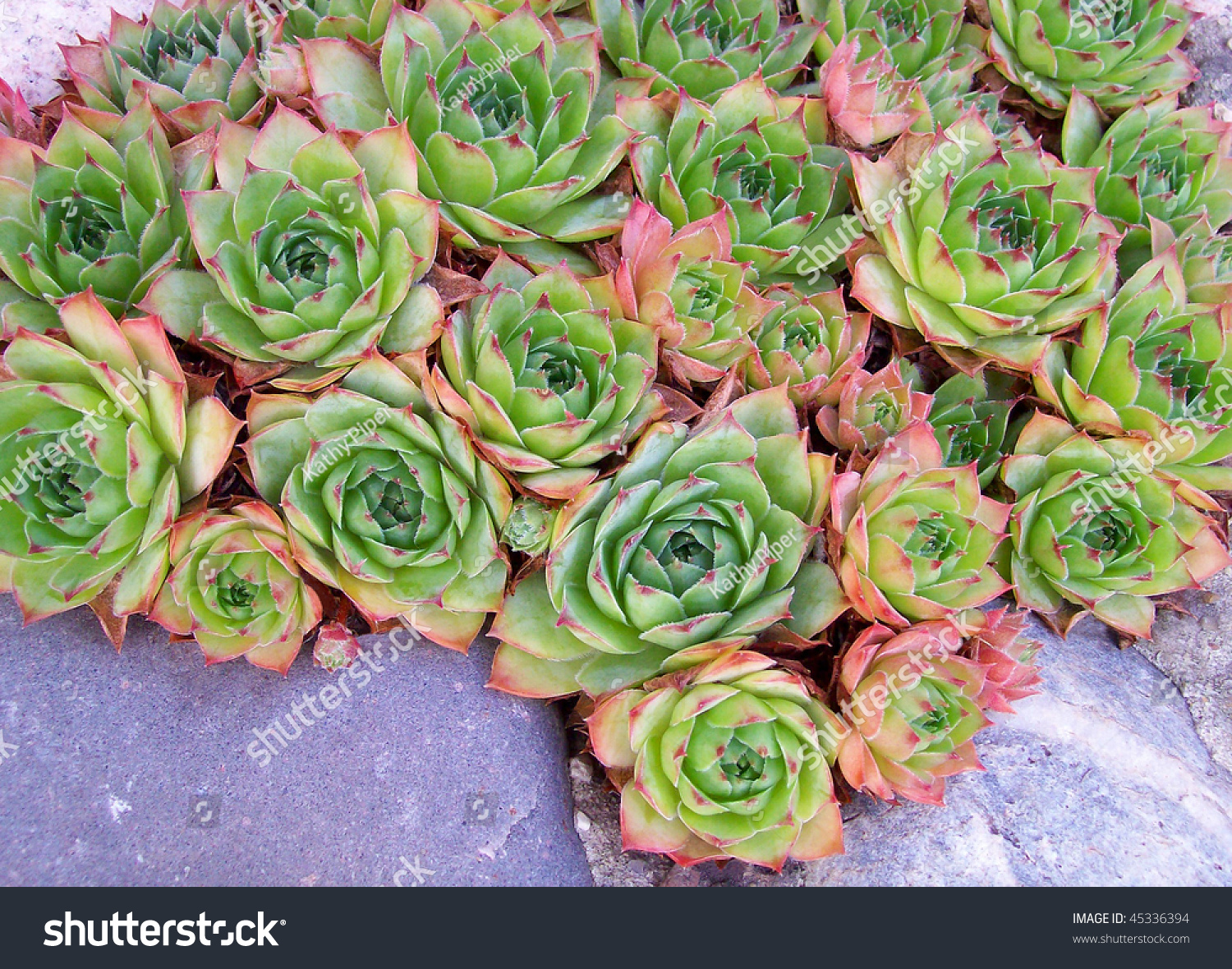 Pink Green Redtipped Hen Chicks Plant Stock Photo 45336394
