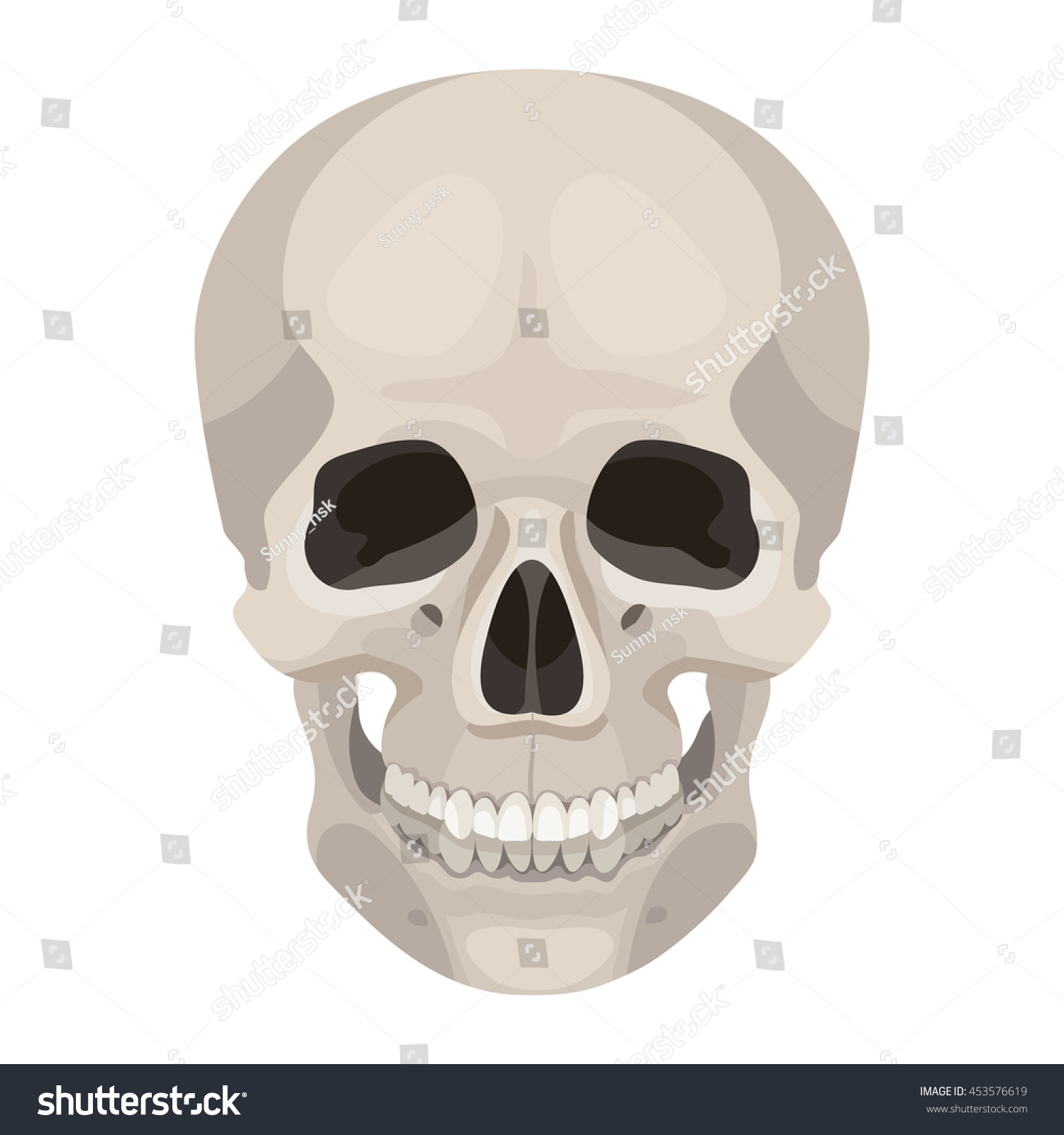 Vector Human Skull Front View Anatomy Stock Vector Royalty Free