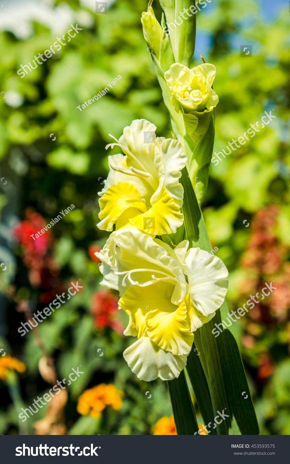 Gladiolus sword lily genus perennial bulbous stock photo edit now gladiolus sword lily a genus of perennial bulbous flowering plants in iris family iridaceae izmirmasajfo