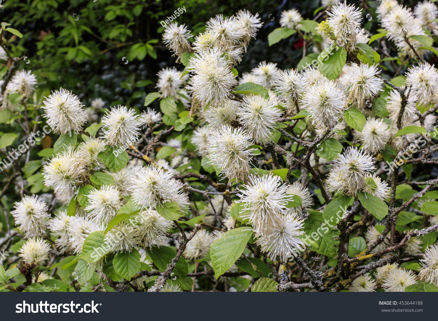 White Furry Pompom Like Flowering Shrub Stock Photo Edit Now