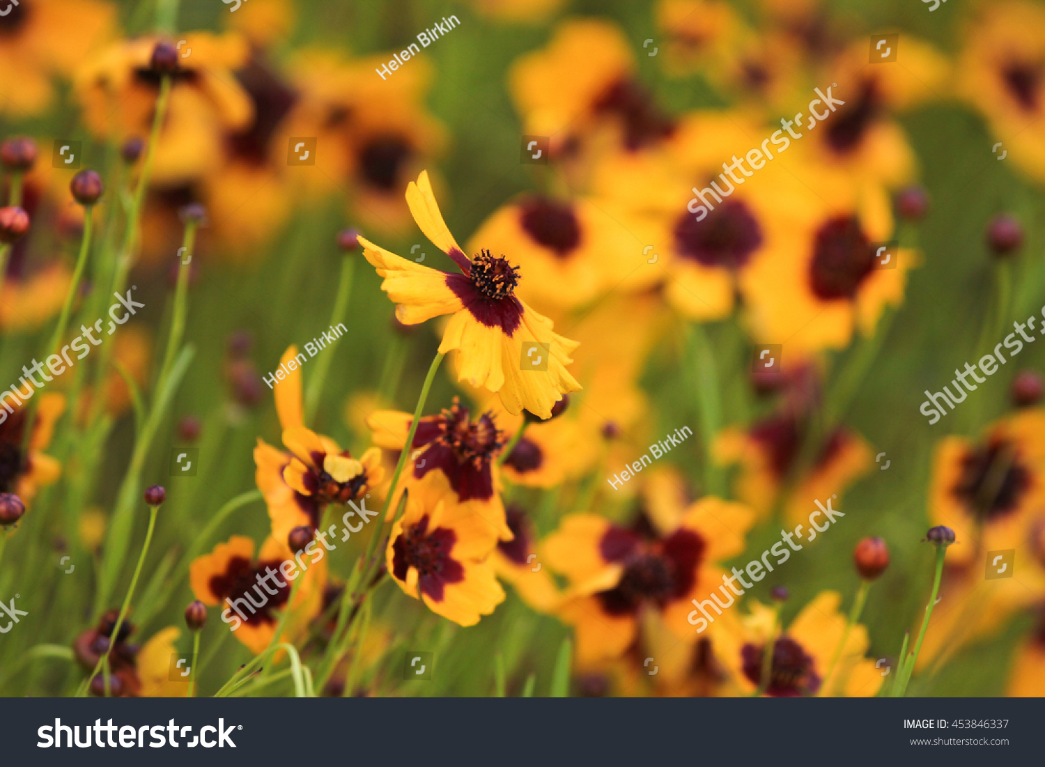 Cosmidium Yellow Flowers Red Center Flowers Stock Photo Edit Now