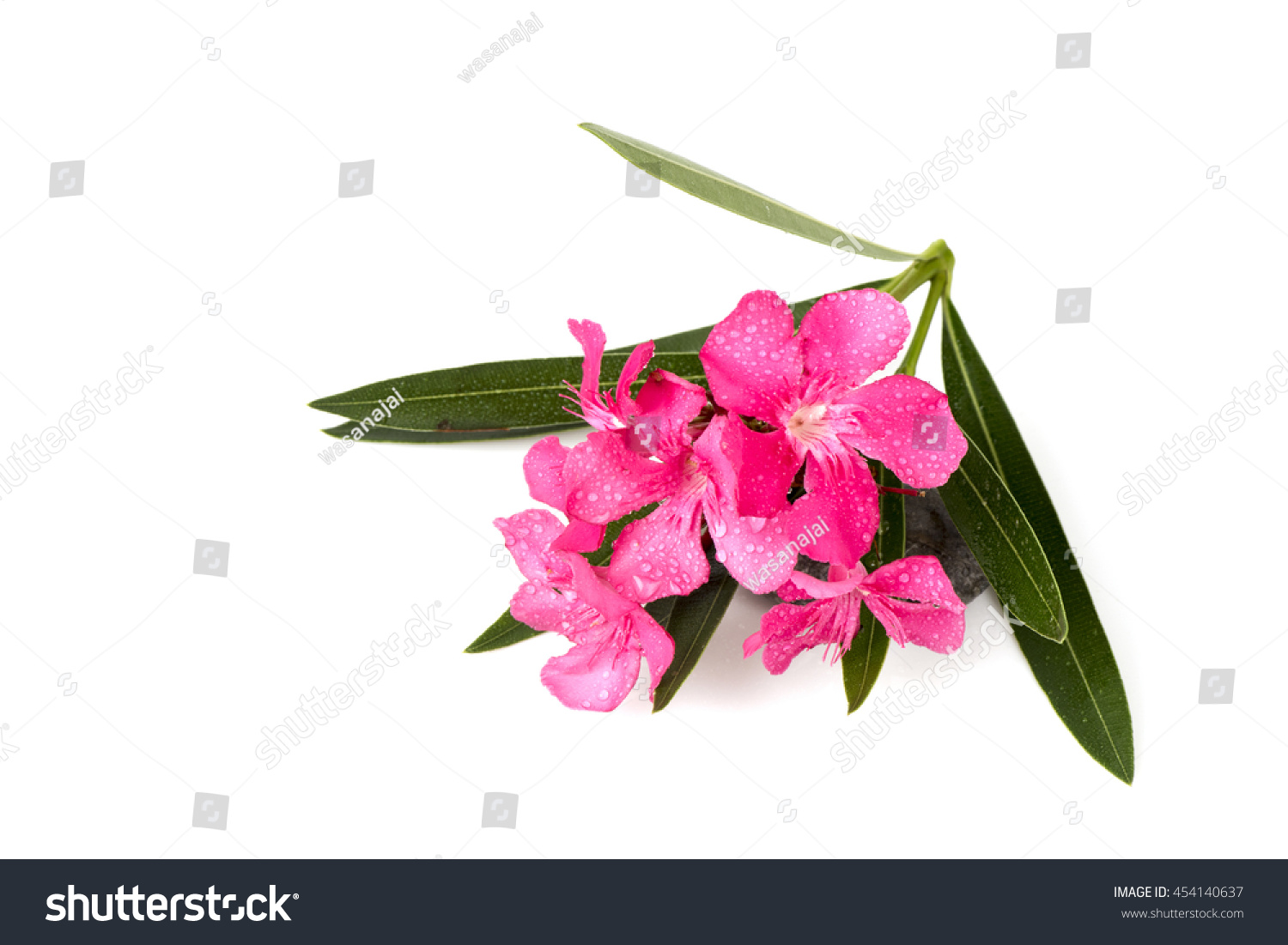 Oleander Sweet Oleander Rose Bay Nerium Stock Photo Edit Now