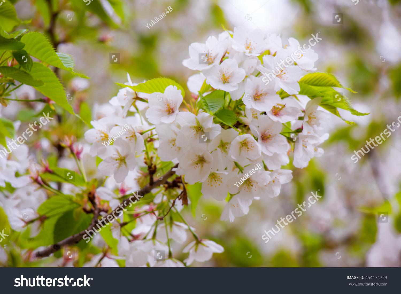 Blur Of White Sakura Cherry Blossom Is The Most Beautiful Flower