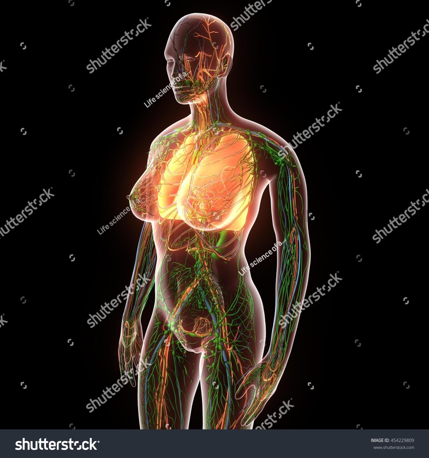 Female Human Body Organs Lungs Anatomy Stock Illustration 454229809