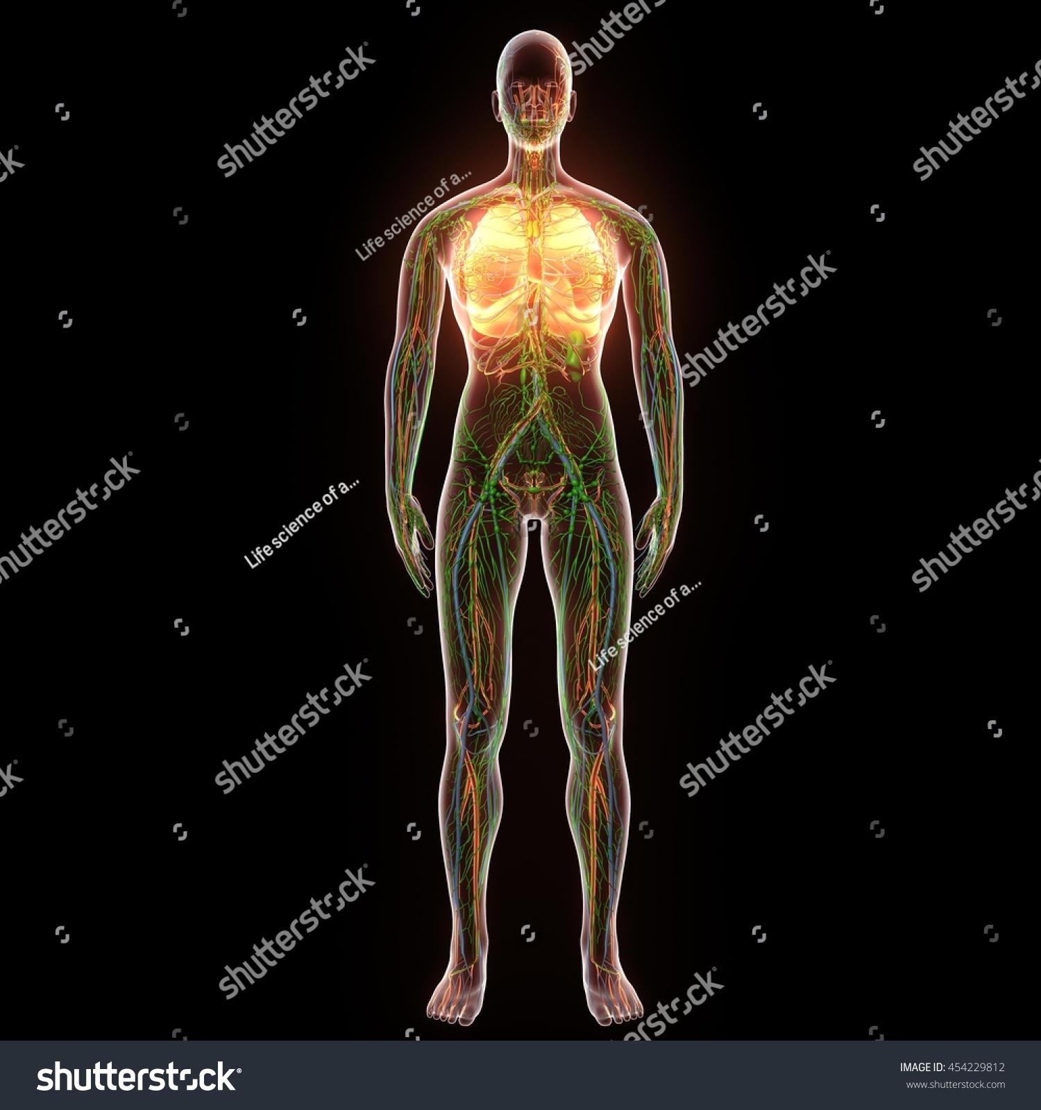 Female Human Body Organs Lungs Anatomy Stock Illustration 454229812