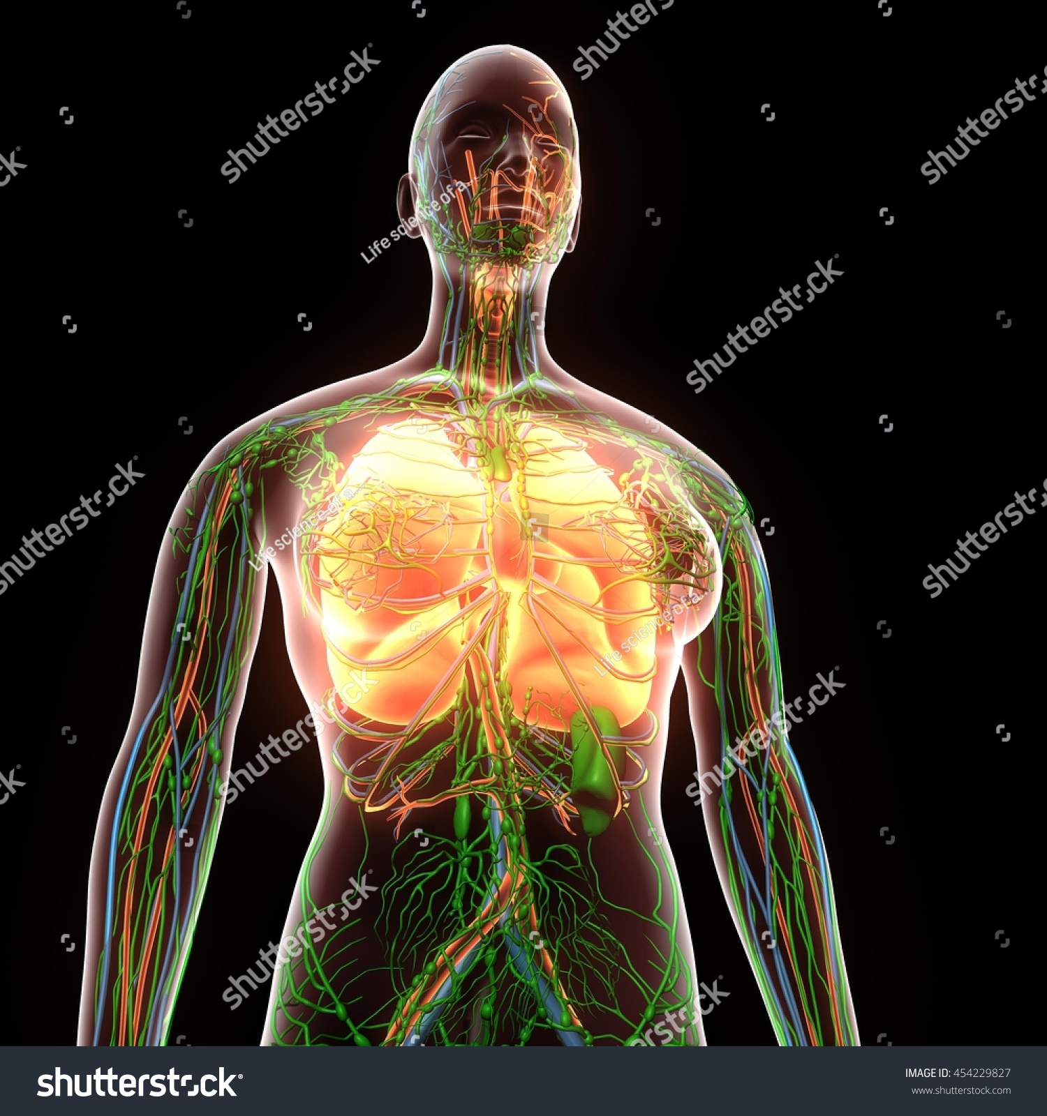 Female Human Body Organs Lungs Anatomy Stock Illustration 454229827 ...