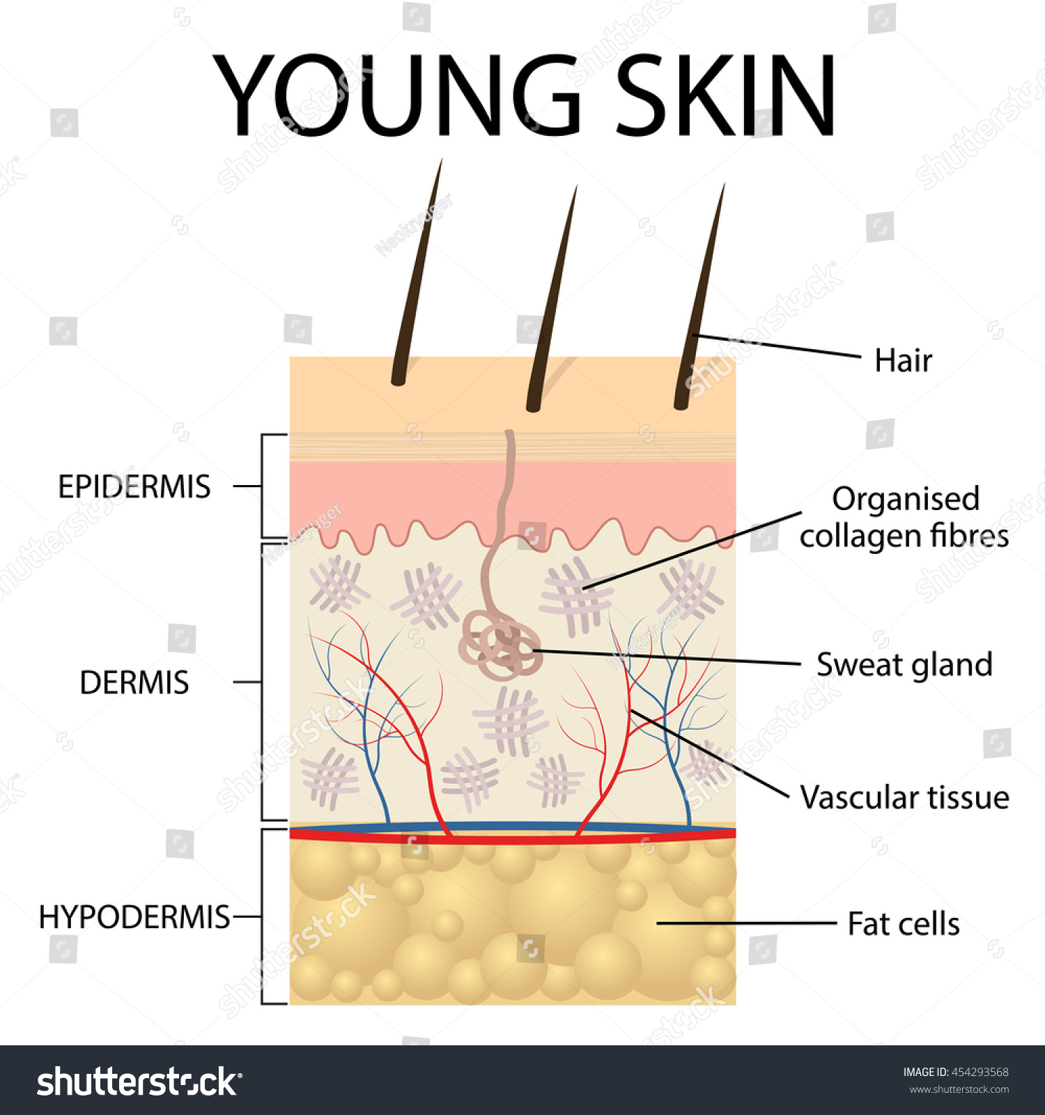Young skin collagen elastin form structure stock vector 454293568 young skin collagen and elastin form the structure of the dermis making it tight and pooptronica