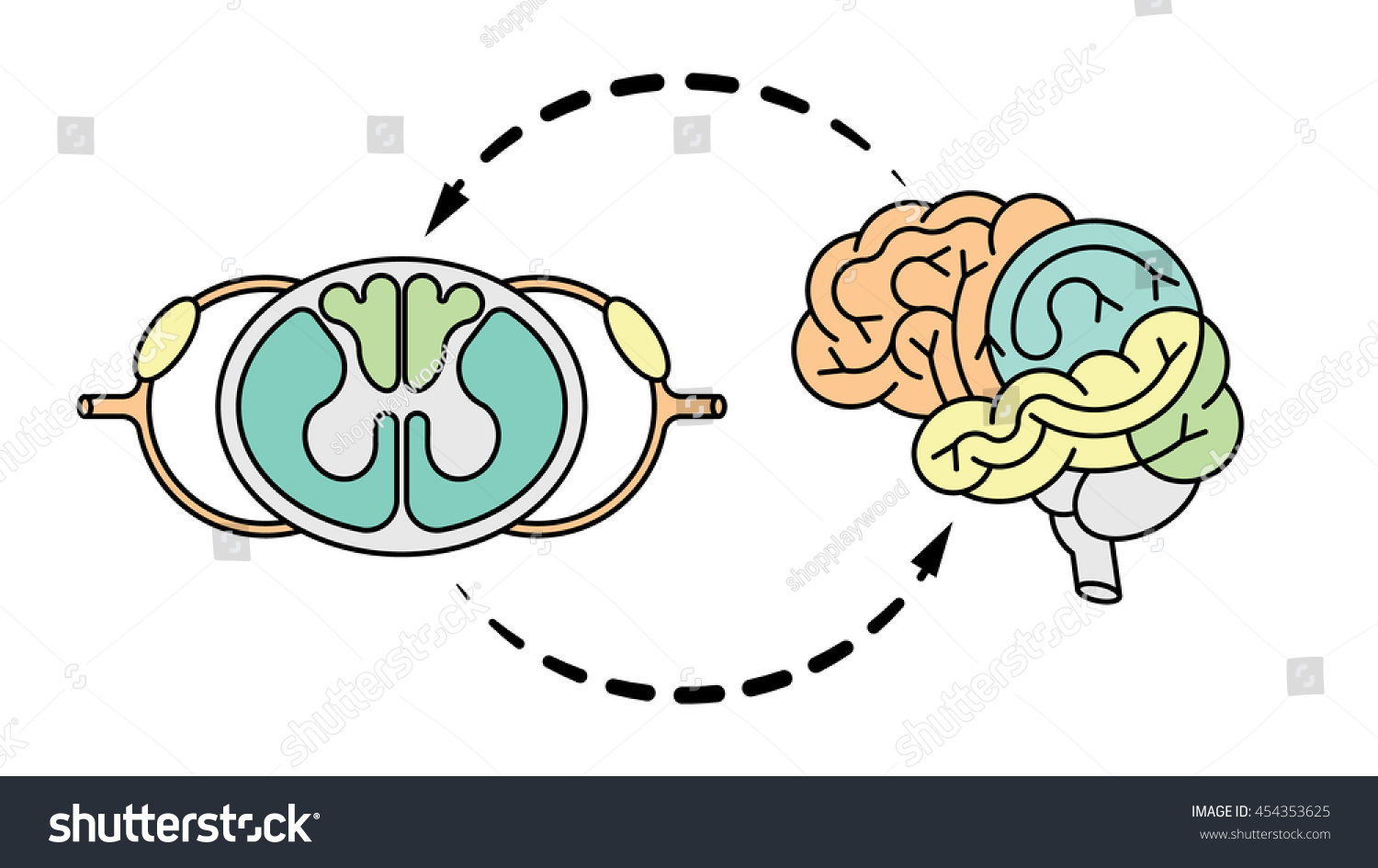 Isolated Vector Brain Spinal Cord Central Stock Vector ...