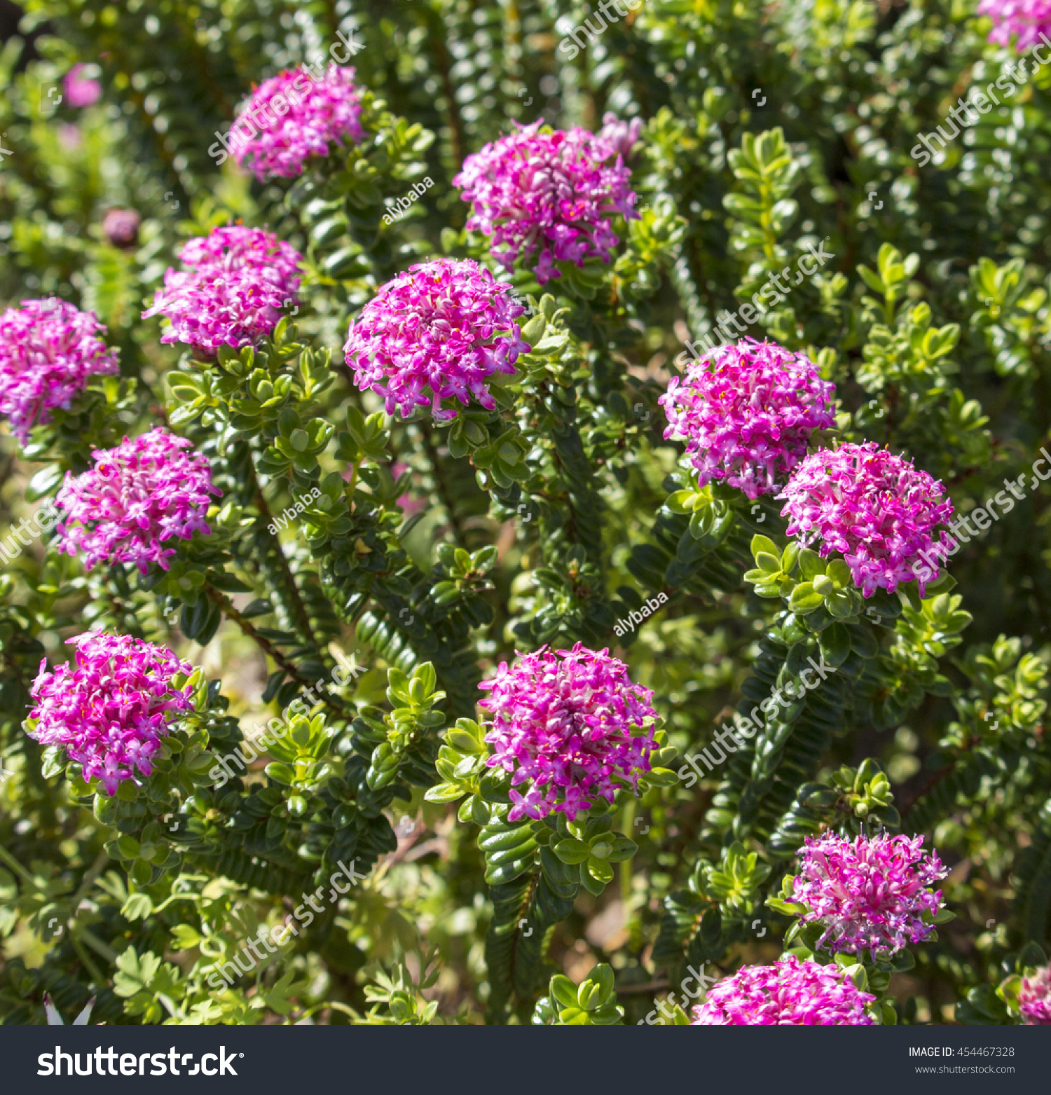 Royalty free lovely pimelea ferruginea rice flower 454467328 stock lovely pimelea ferruginea rice flower of the thymelaeaceae family with pink flowers blooming in crooked brook mightylinksfo