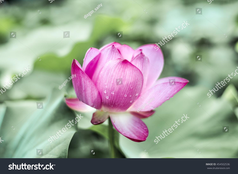 Lotus Flower Pink Nature Macau China Stock Photo Edit Now
