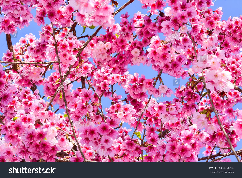 Cherry Blossom Flowers Treesbranches Present Pastel Stock Photo