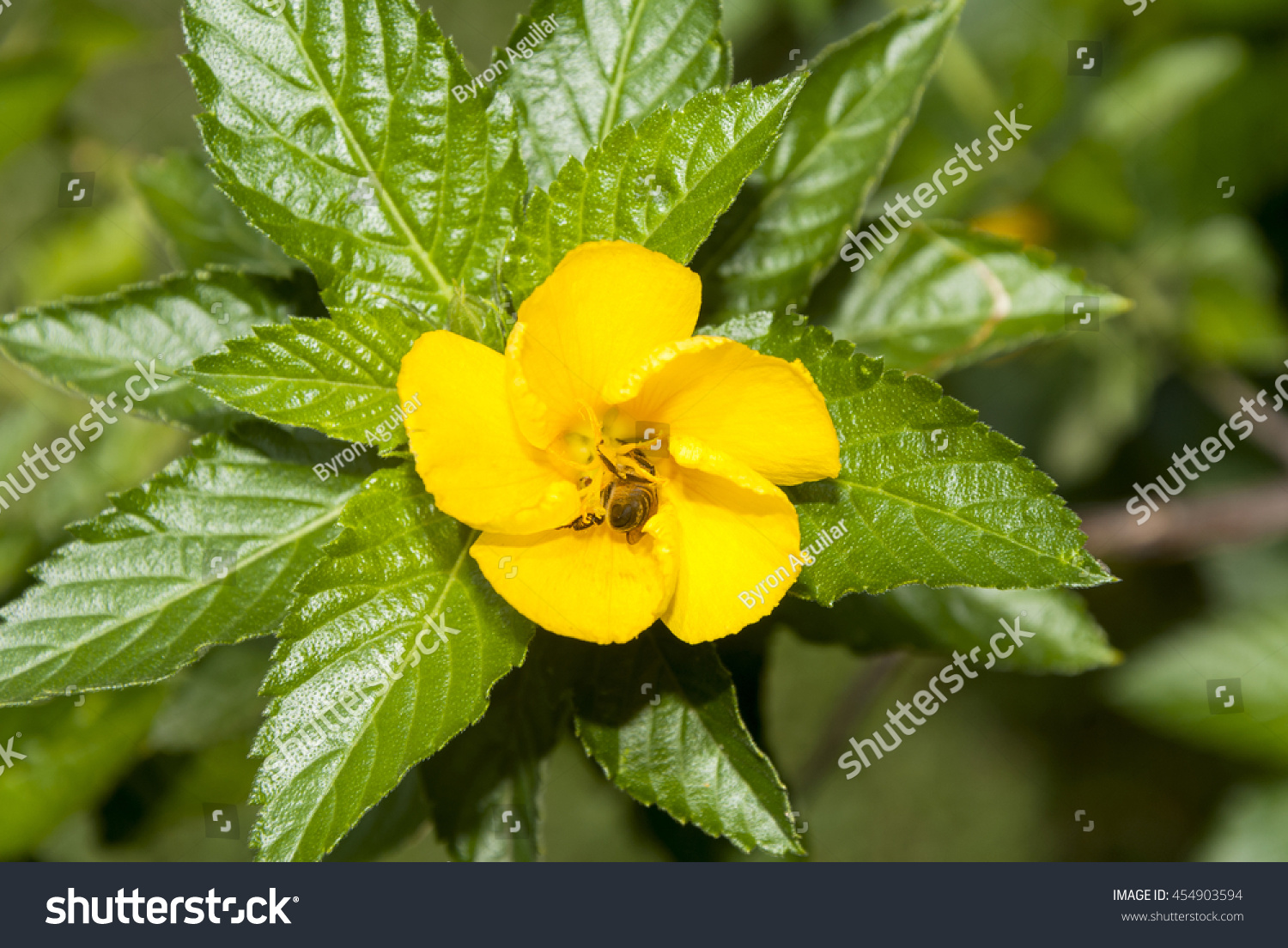 Royalty free bee on yellow sage rose flower with dew 454903594 bee on yellow sage rose flower with dew in guatemala 454903594 mightylinksfo
