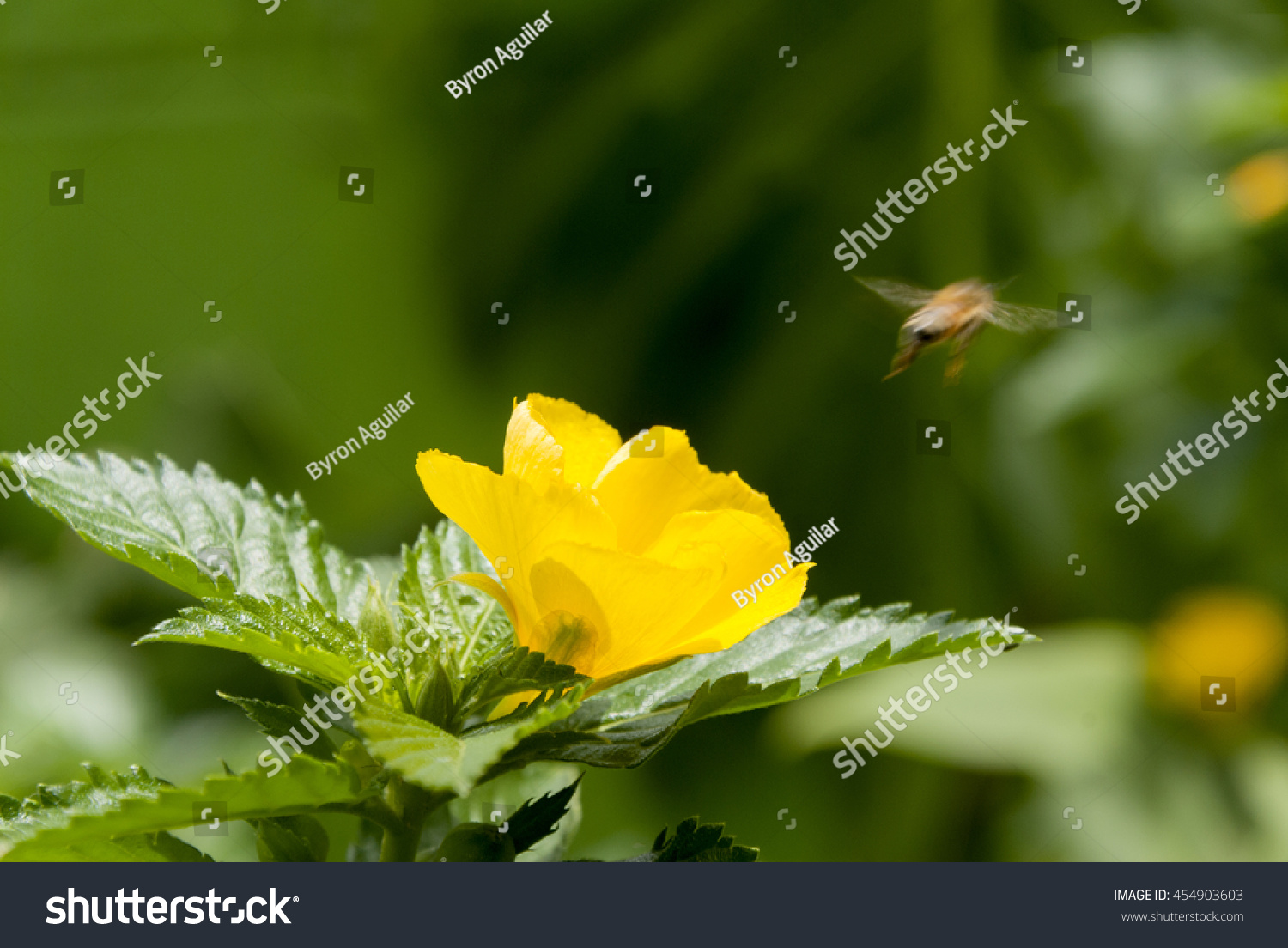 Bee On Yellow Sage Rose Flower Stock Photo Royalty Free 454903603