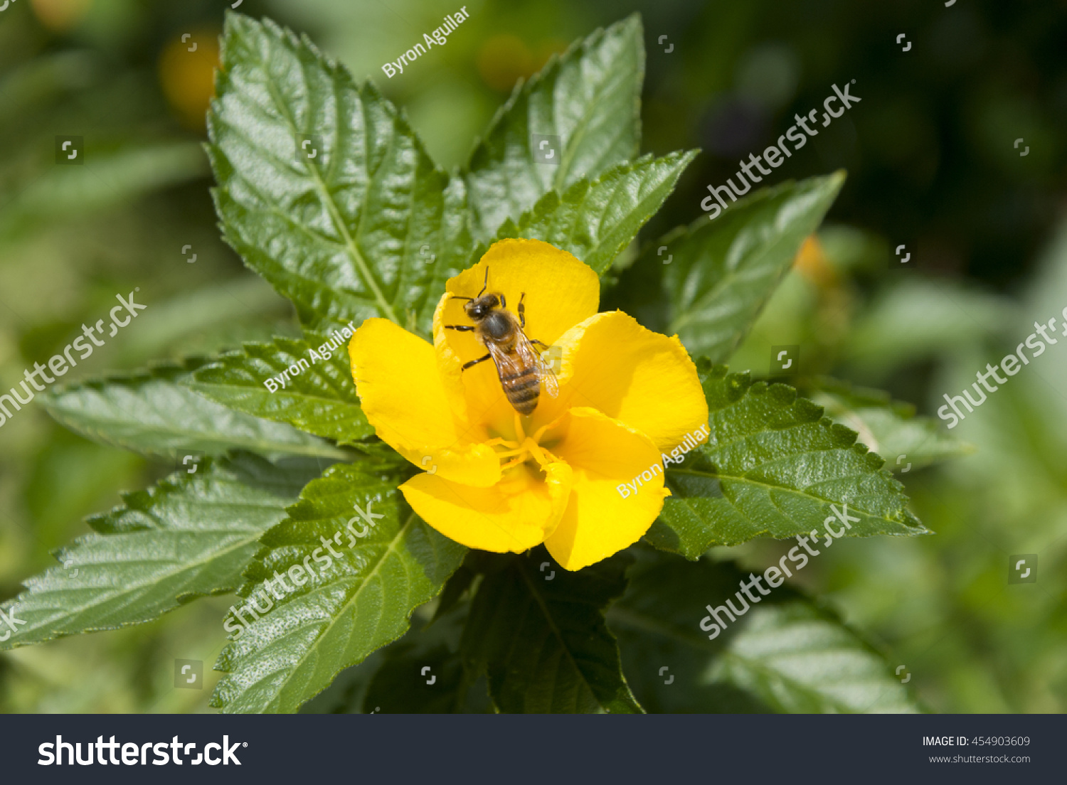 Bee On Yellow Sage Rose Flower With Dew In Guatemala Ez Canvas