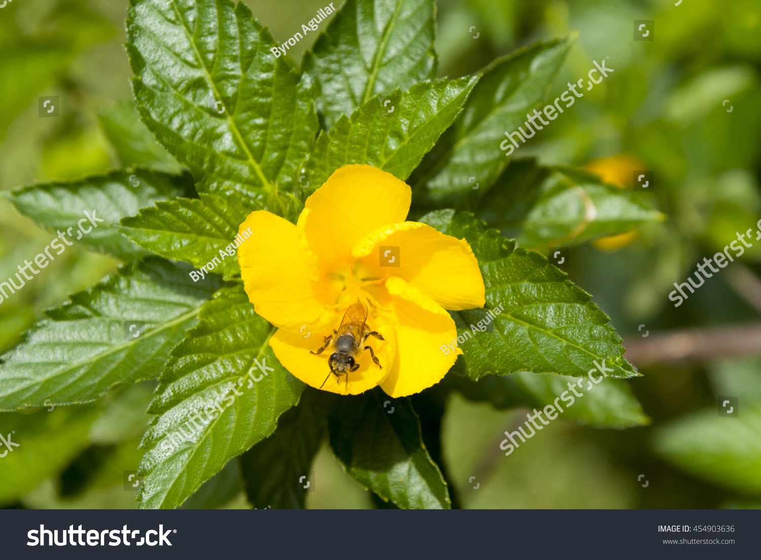 Bee On Yellow Sage Rose Flower Stock Photo Edit Now 454903636