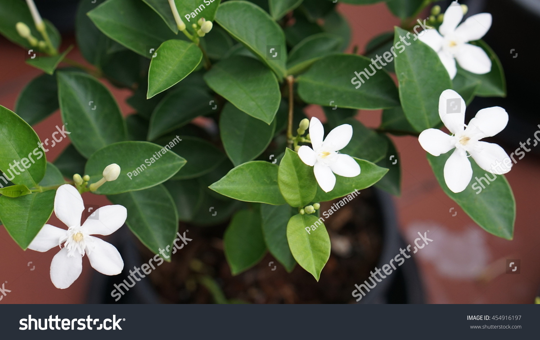 Royalty Free Four White Gardenia Pitchaya Flowers 454916197 Stock