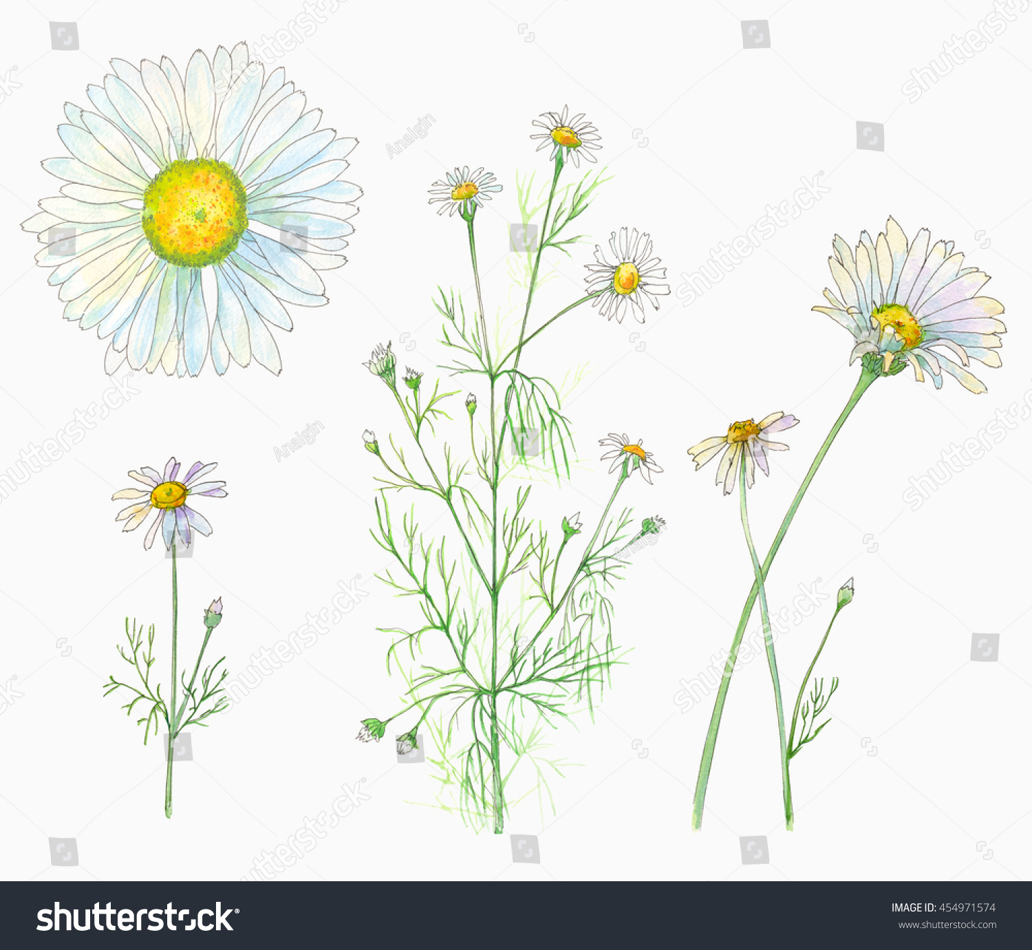 Set chamomile daisy flowers leaves bouquet stock illustration set of chamomile daisy flowers and leaves bouquet watercolor painting realistic izmirmasajfo