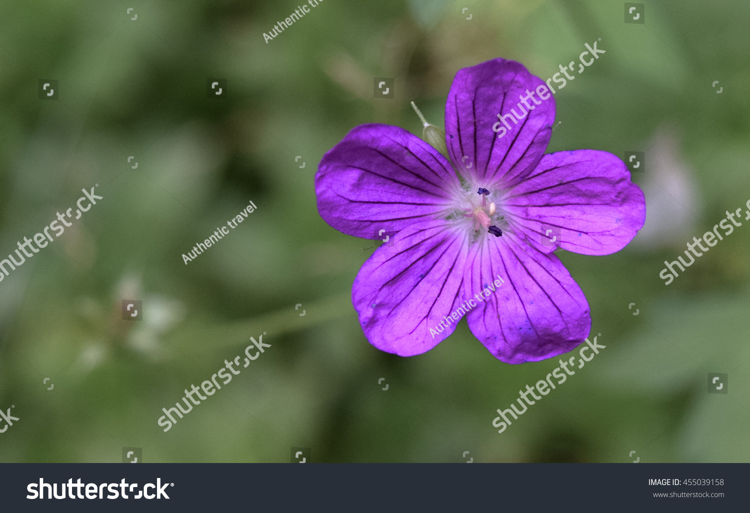 Rare Unique Flowers Forest Eastern Europe Stock Photo (Edit