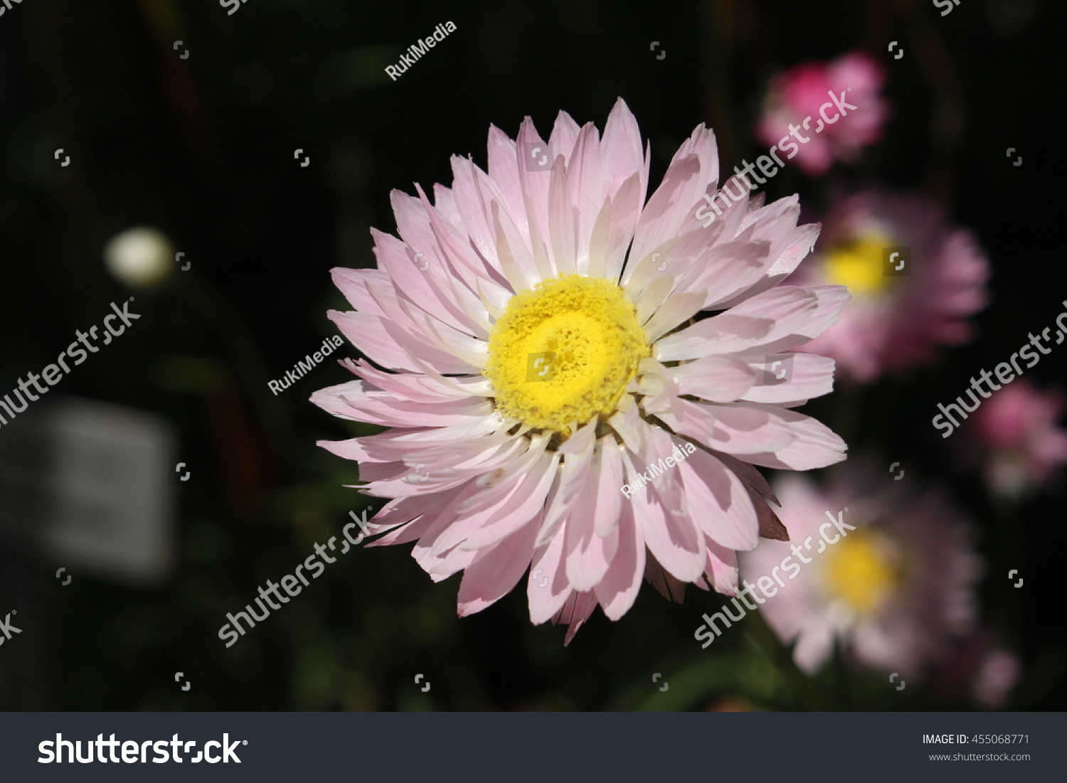 Royalty Free Paper Daisy Flower In St Gallen 455068771 Stock