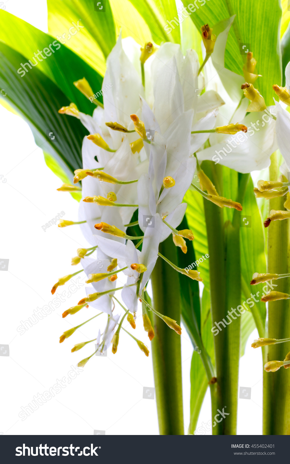 Globba White Dragon Flower Isolated On Stock Photo Royalty Free