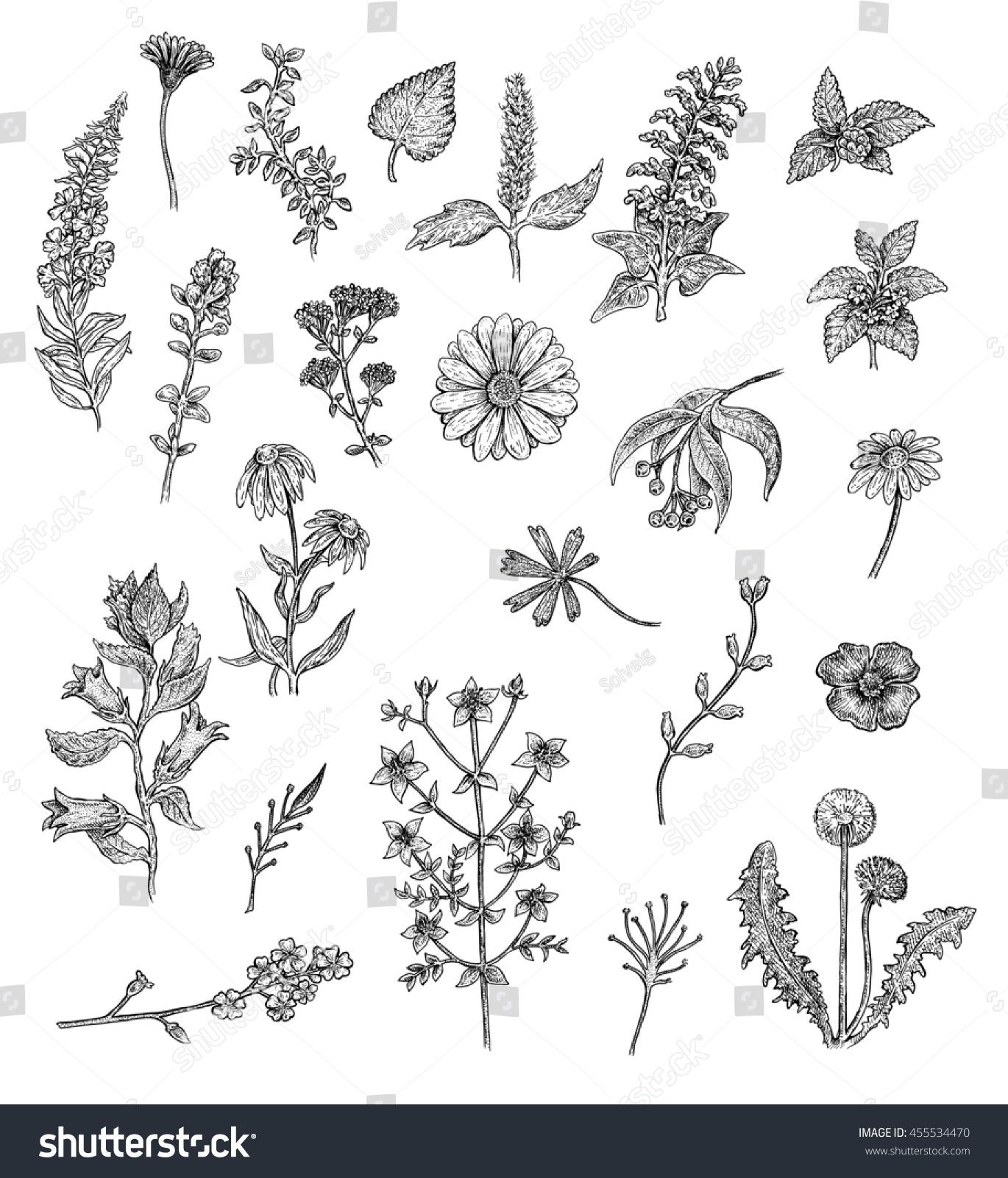Herbs Flowers Black White Ink Drawings Stock Illustration 455534470