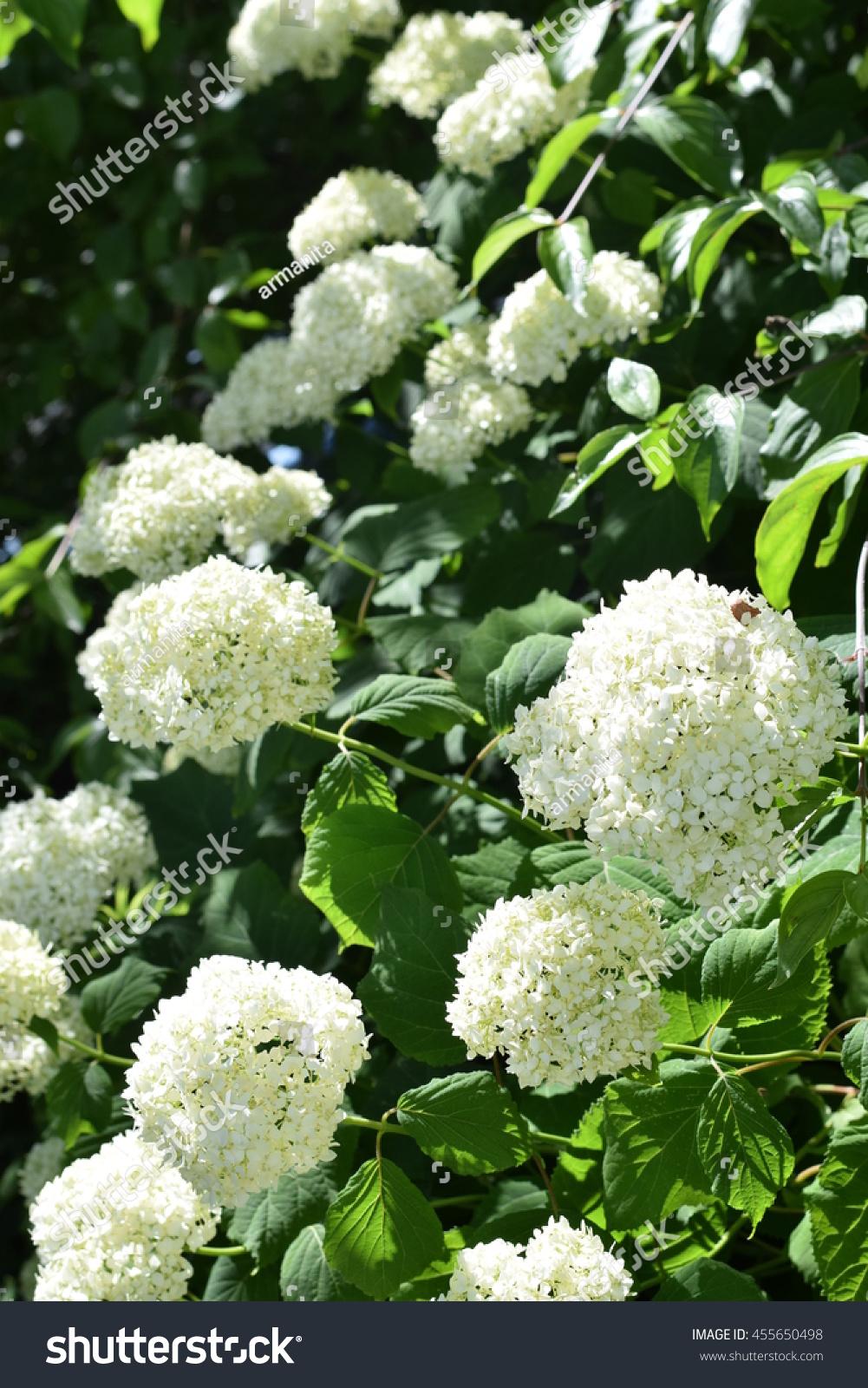 White Hydrangea Flower Shrub Climbing Plant Stock Photo Edit Now