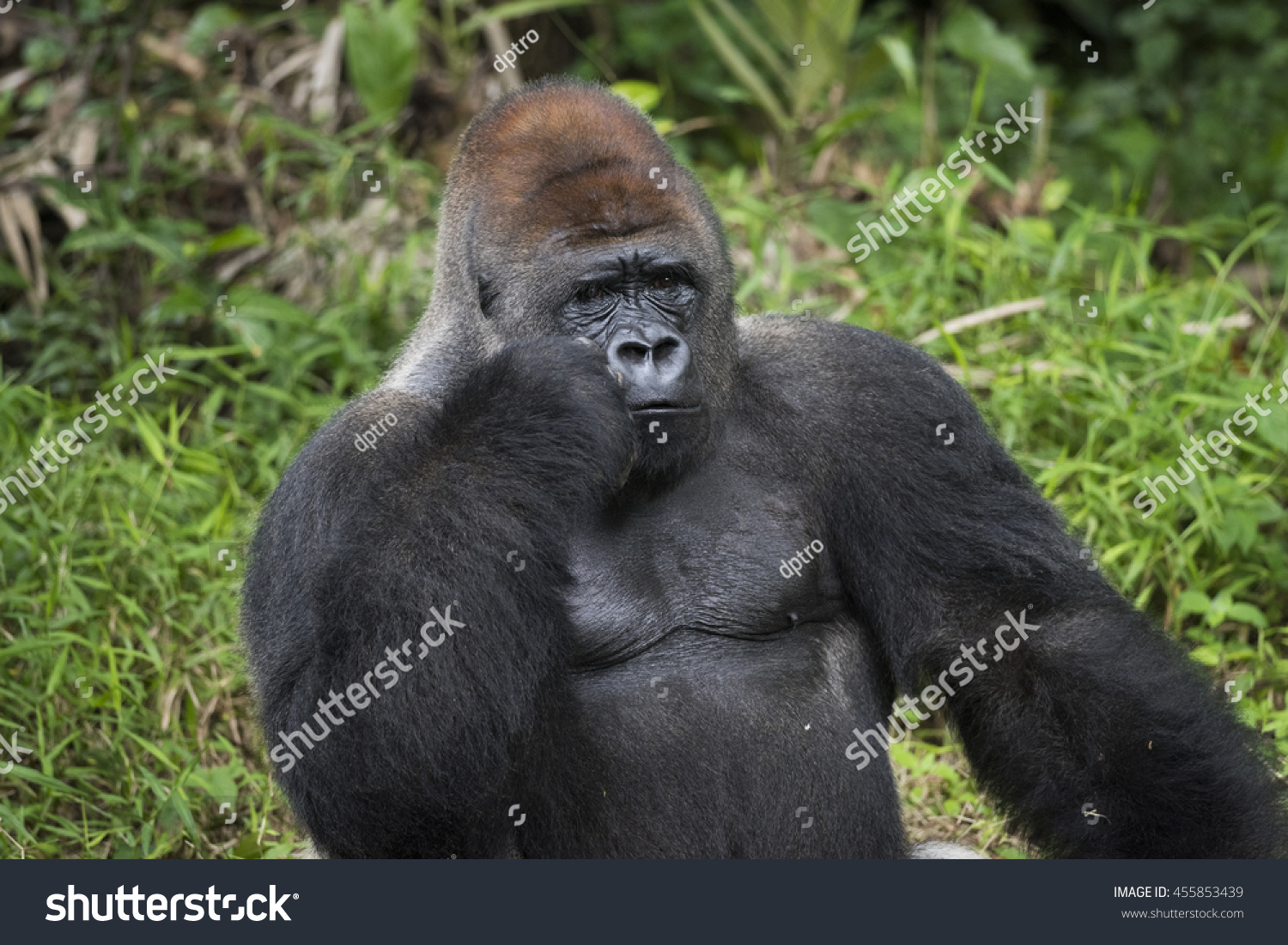 https://image.shutterstock.com/z/stock-photo-silverback-gorilla-on-confusing-thought-pose-455853439.jpg