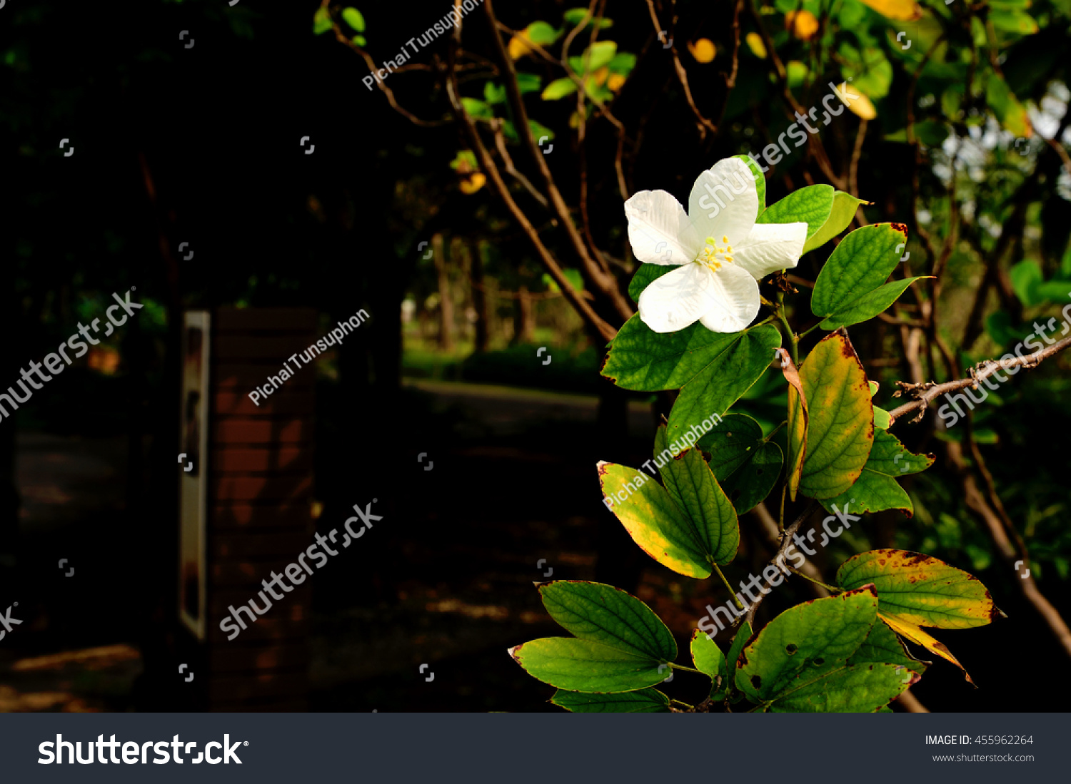 Tropical plant bilobed leaves fragrant white stock photo edit now the tropical plant with bilobed leaves and fragrant white flower mightylinksfo